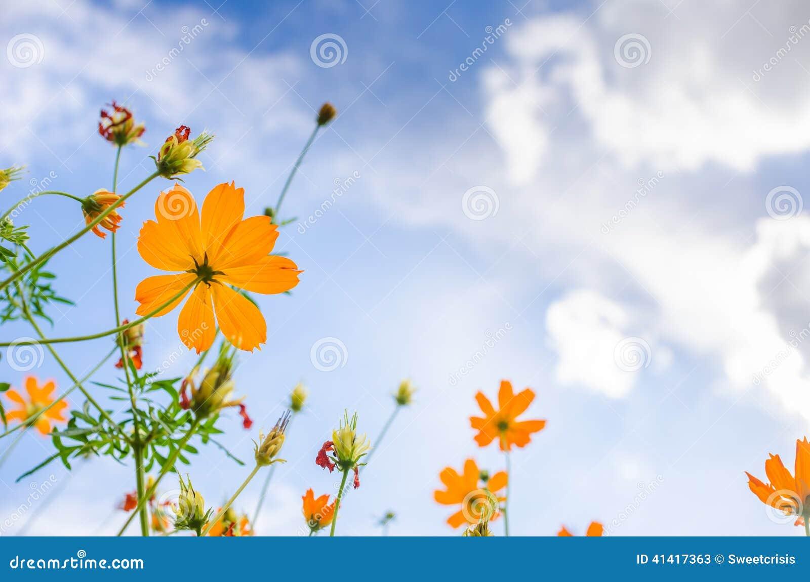 Flor amarilla del cosmos