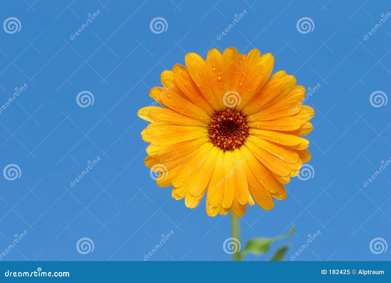 Flor amarilla del gerber contra azul