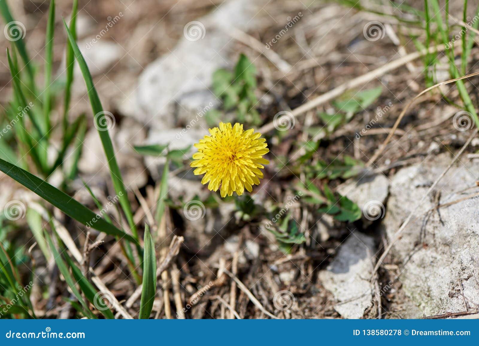 Flor amarilla del resorte
