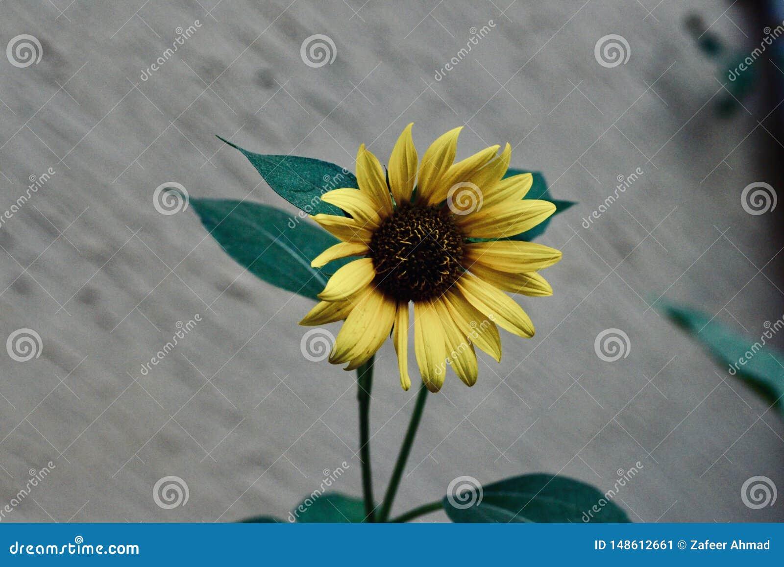 Flor amarilla del sol en el jardín