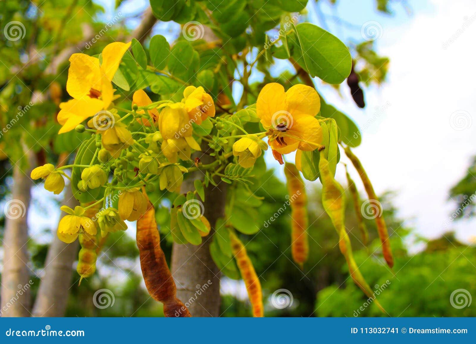 Flor amarilla en el parque de Lumpini en Bangkok, Tailandia