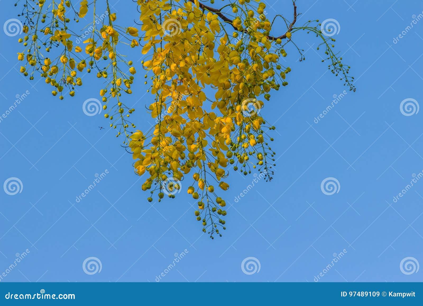 Flor amarilla hermosa de la ducha (Cassia Fistula) con backgro del cielo