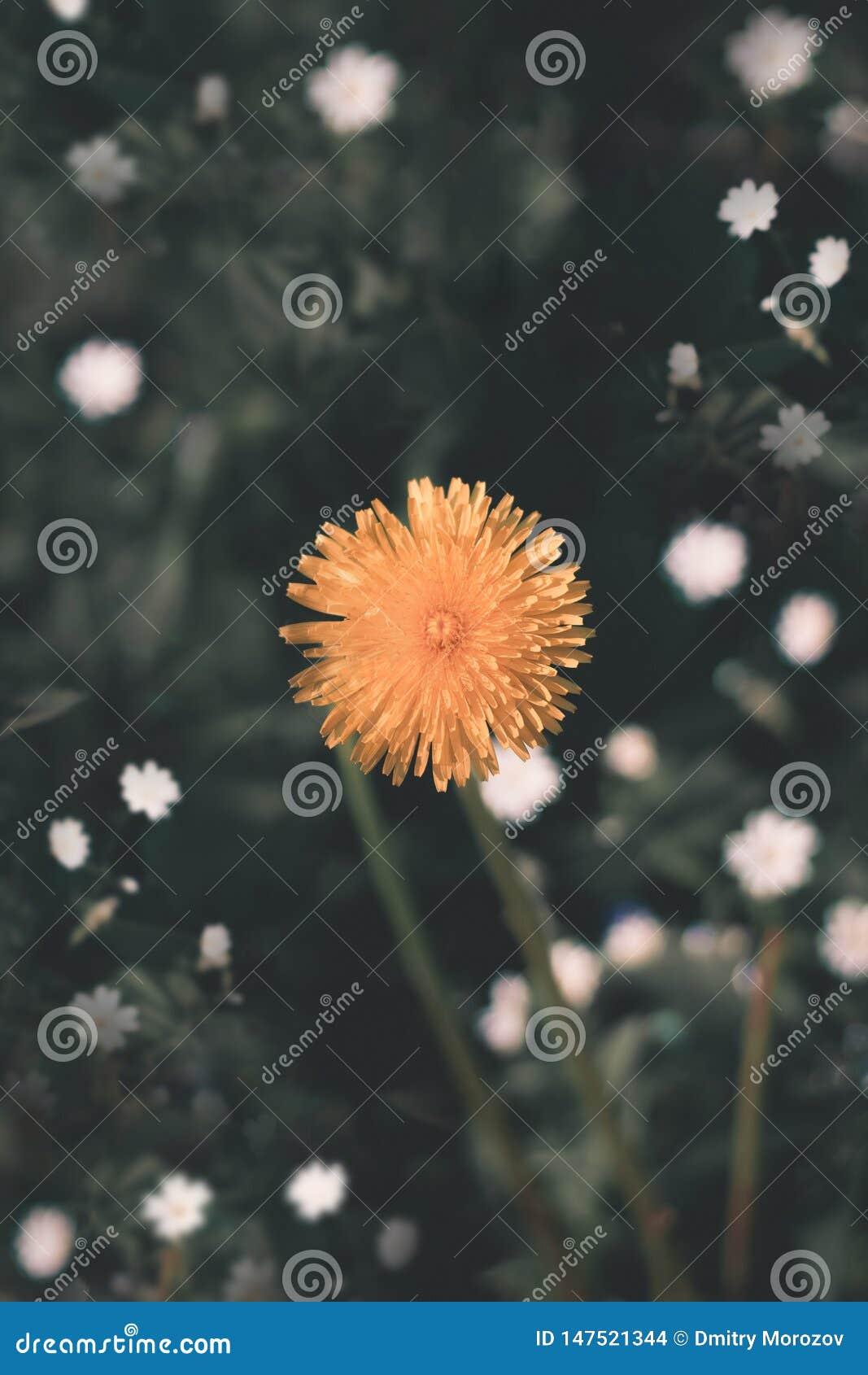 Flor amarilla hermosa, Ucrania