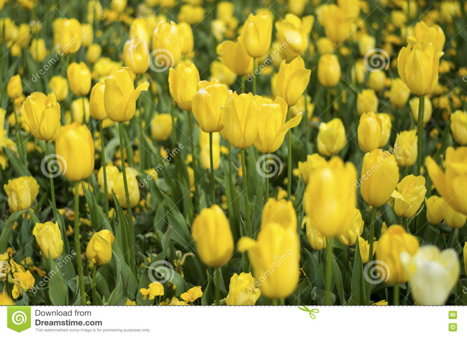 Flor amarillo de la flor del tulipán