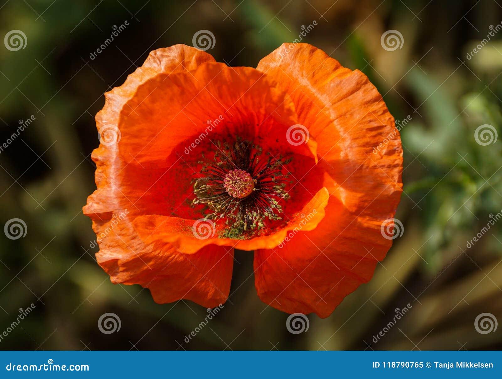 Flor anaranjada de la amapola en la floración