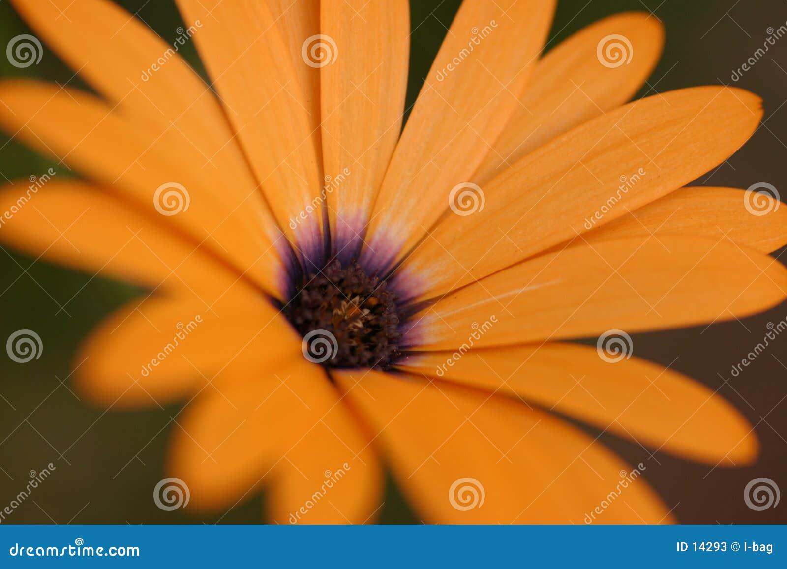 Flor anaranjado de la flor