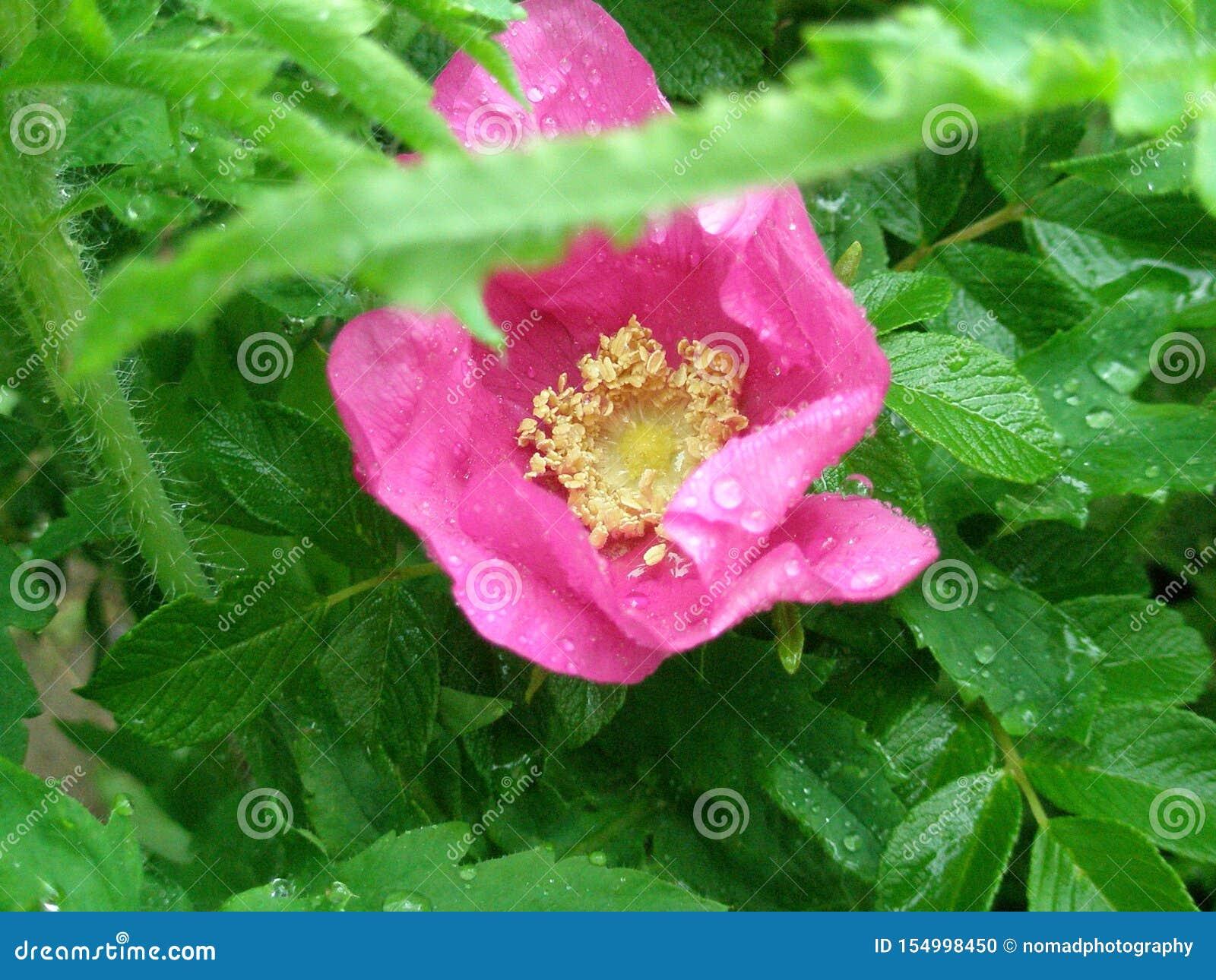 rosa selvagem clareia mesmo