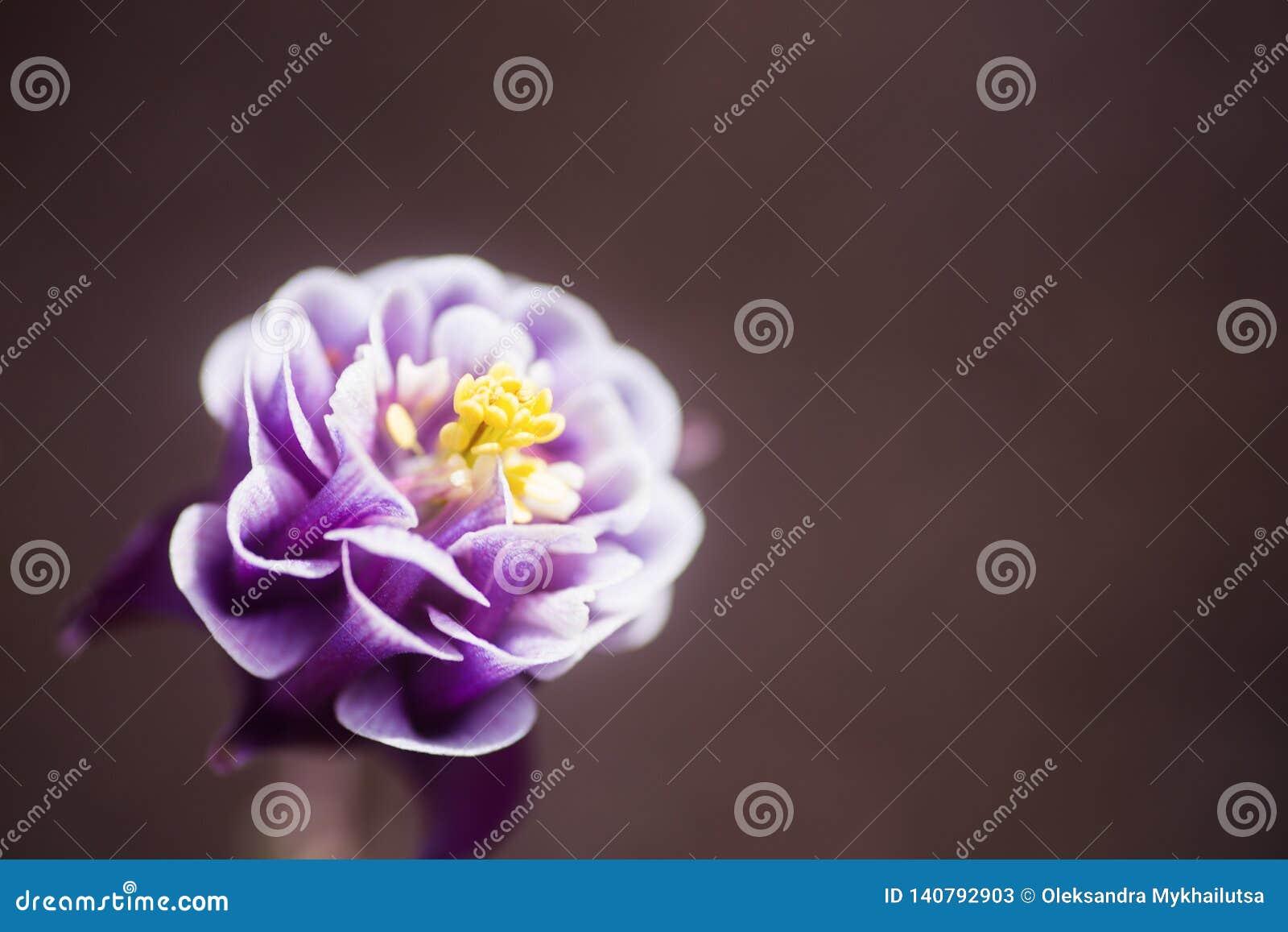 Flor aquilégia roxa do close up com fundo borrado neutro