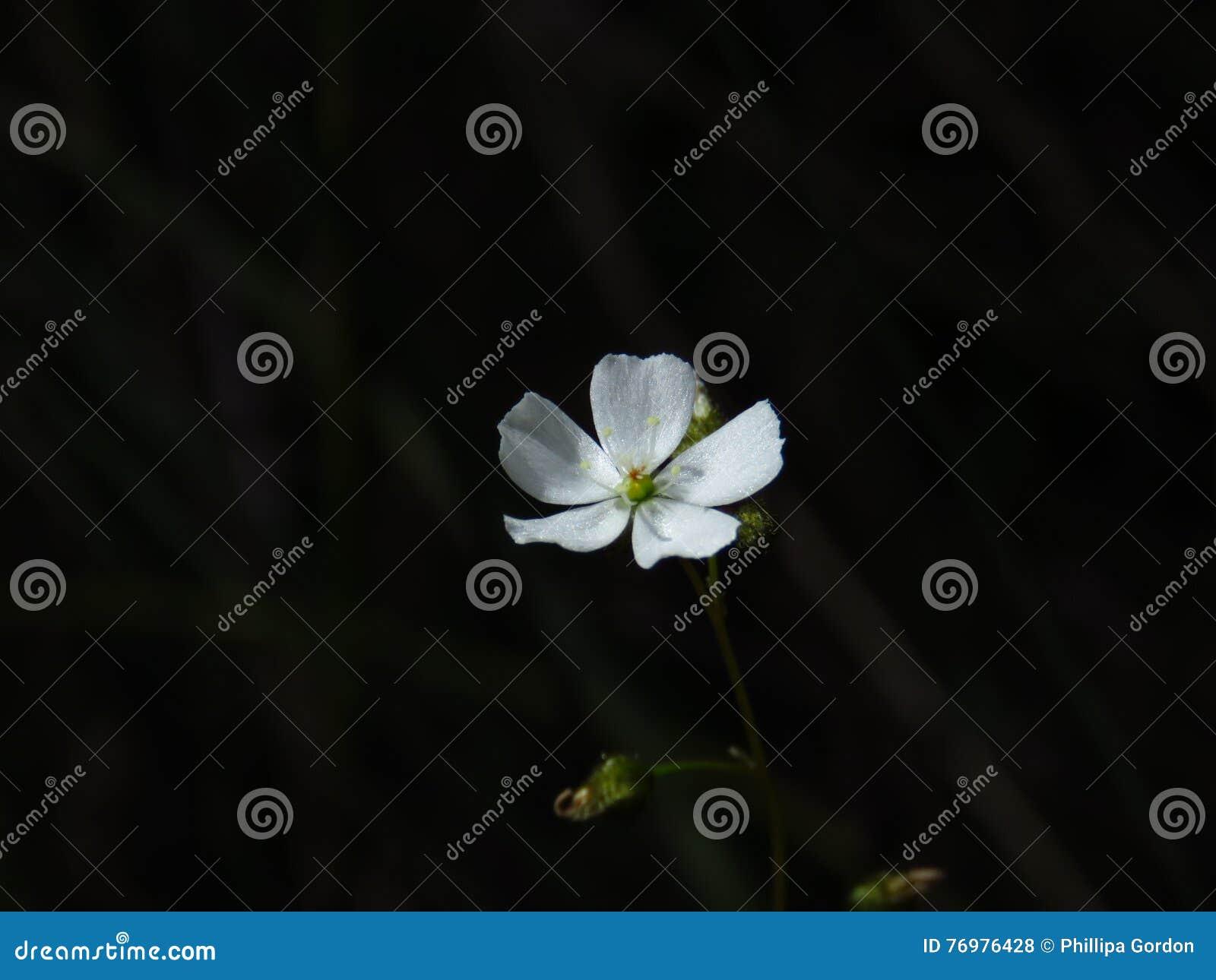 Flor australiana de la drosera