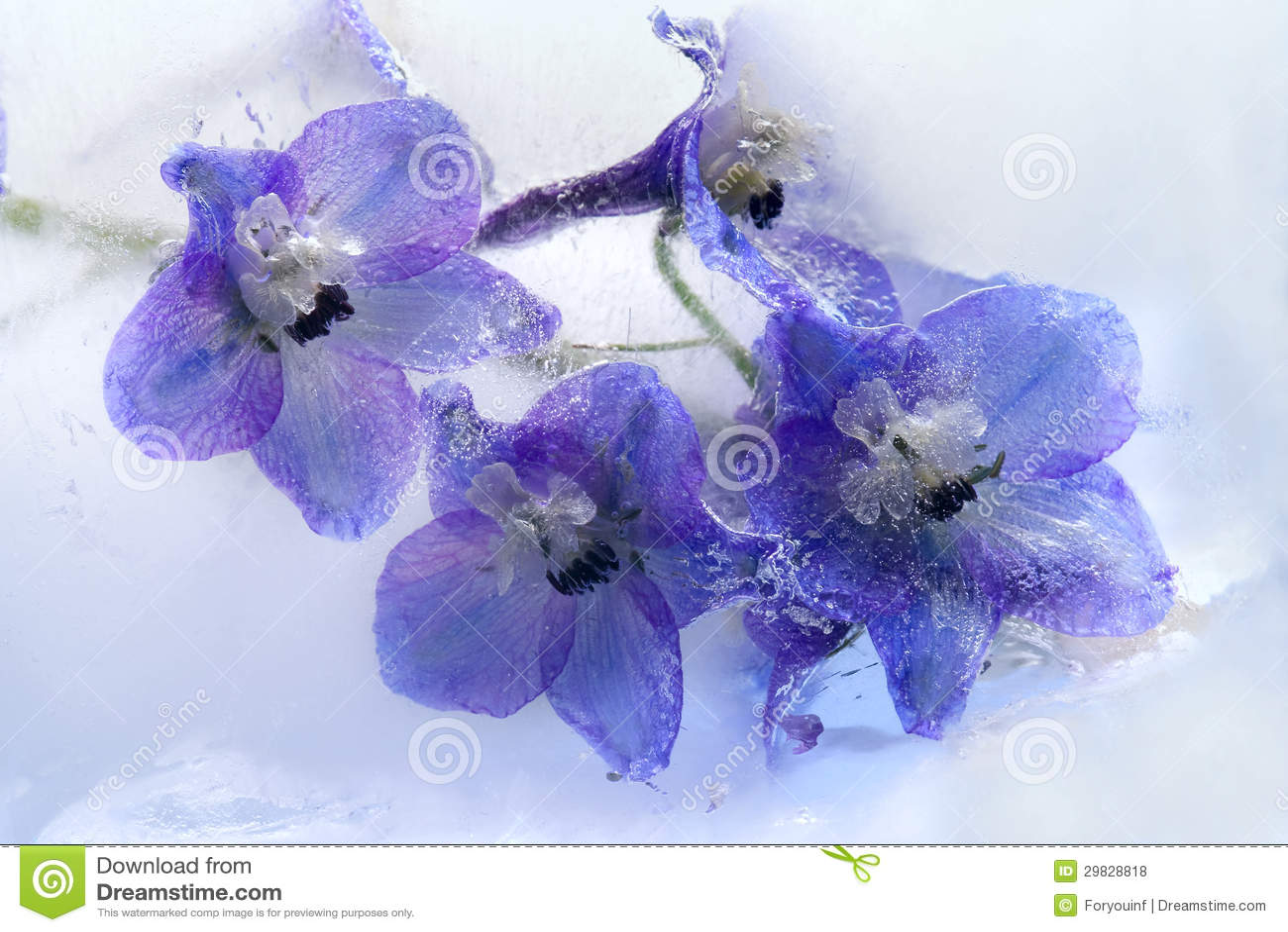 Flor azul congelada do delphinium