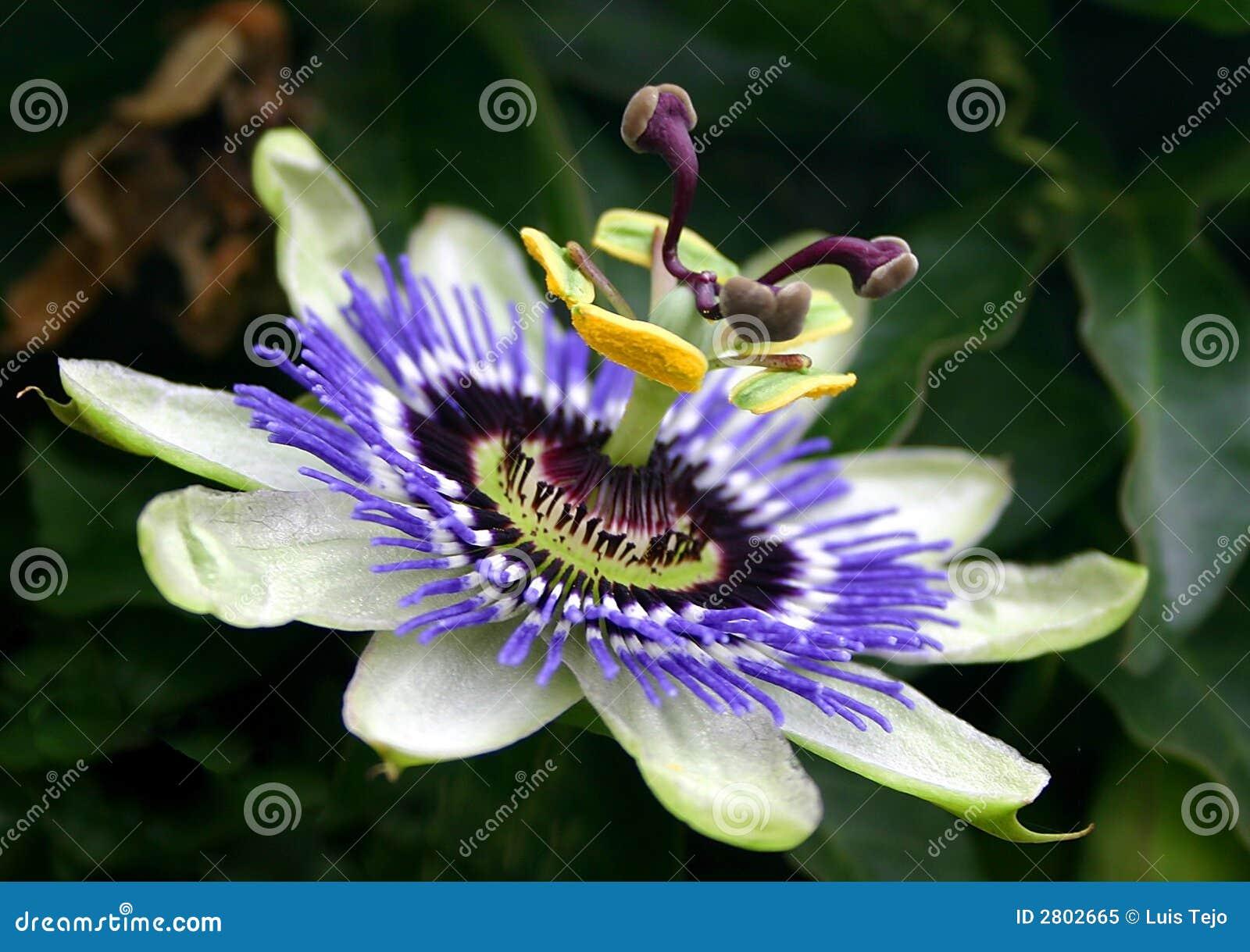 Flor azul de la pasión