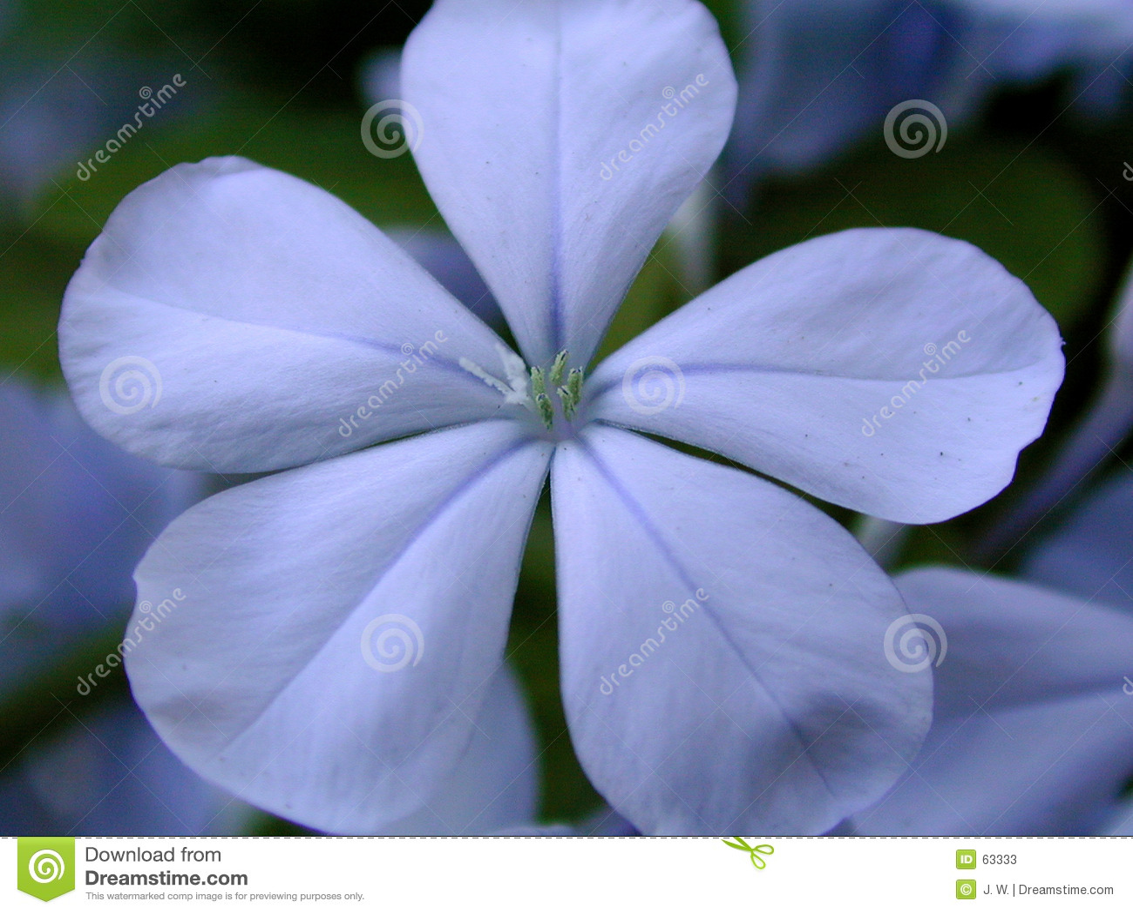 Flor azul de Plumbego