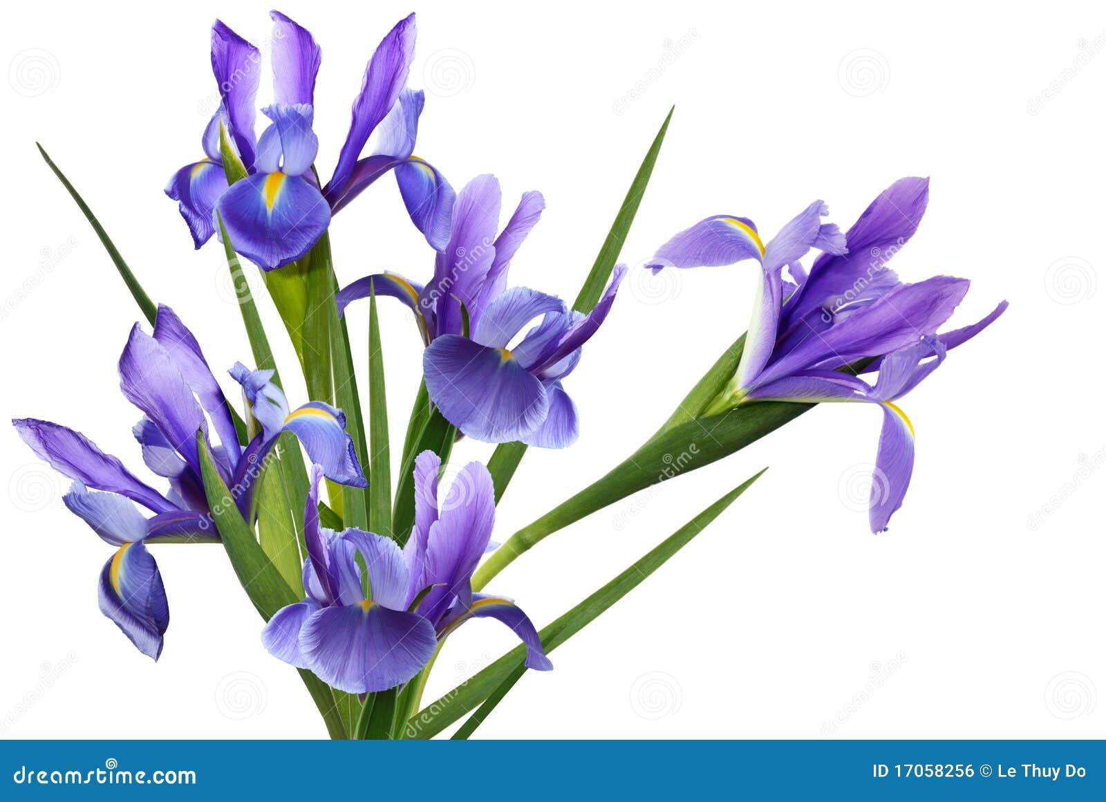 Flor azul del diafragma