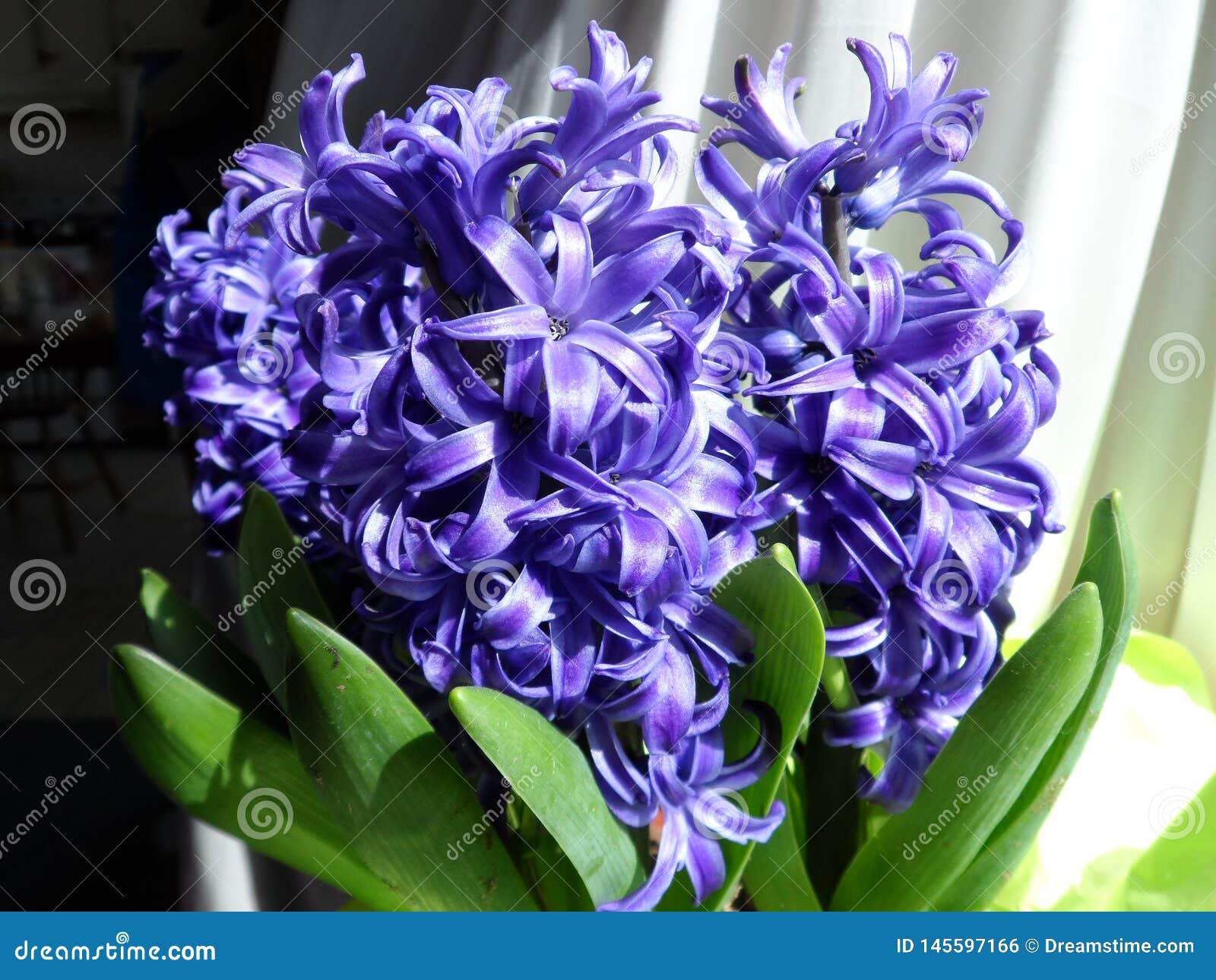 Flor azul del jacinto por una ventana soleada