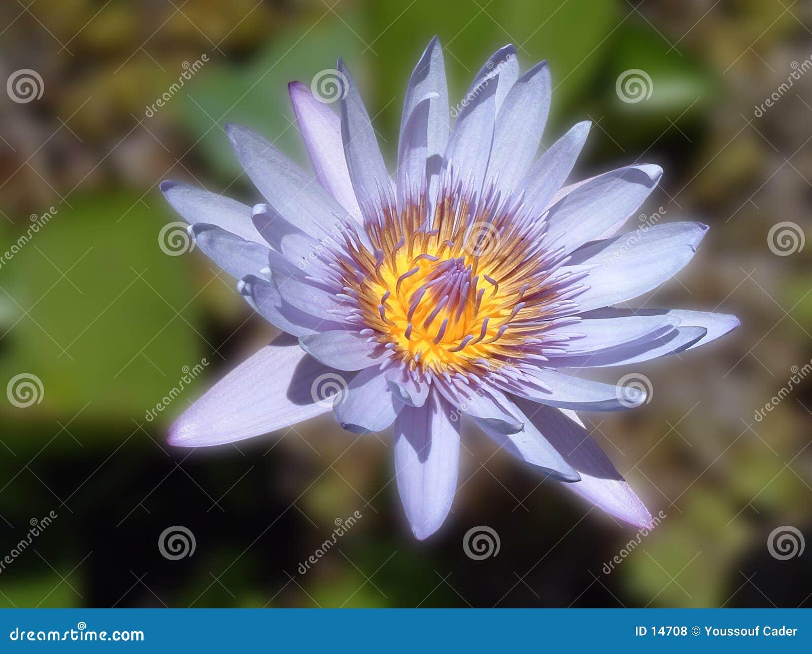 Flor azul del lirio