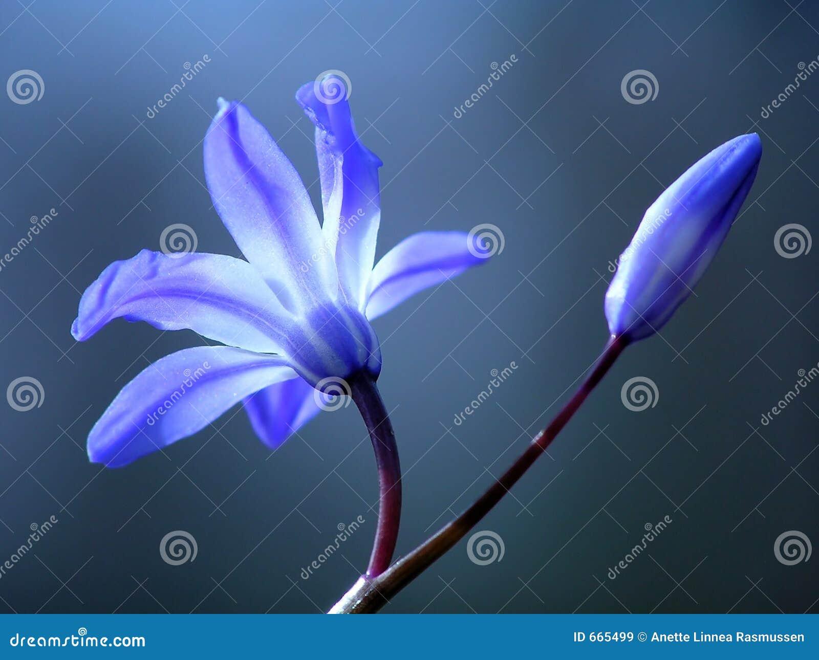 Flor azul del resorte