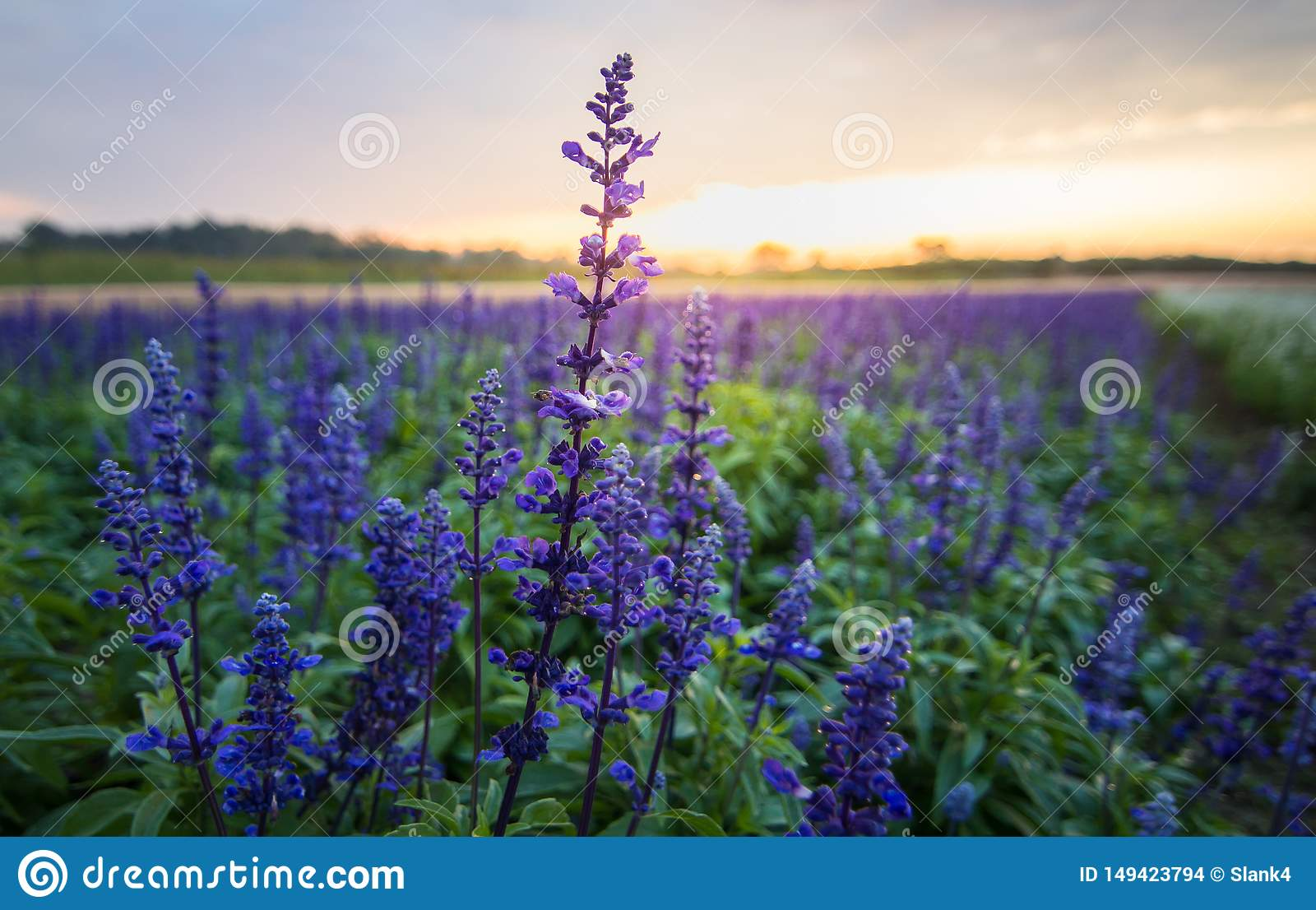 Flor azul del salvia,