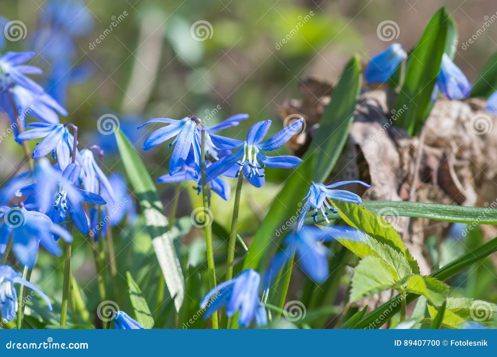A flor azul floresce o snowdrop Scilla Squill da mola