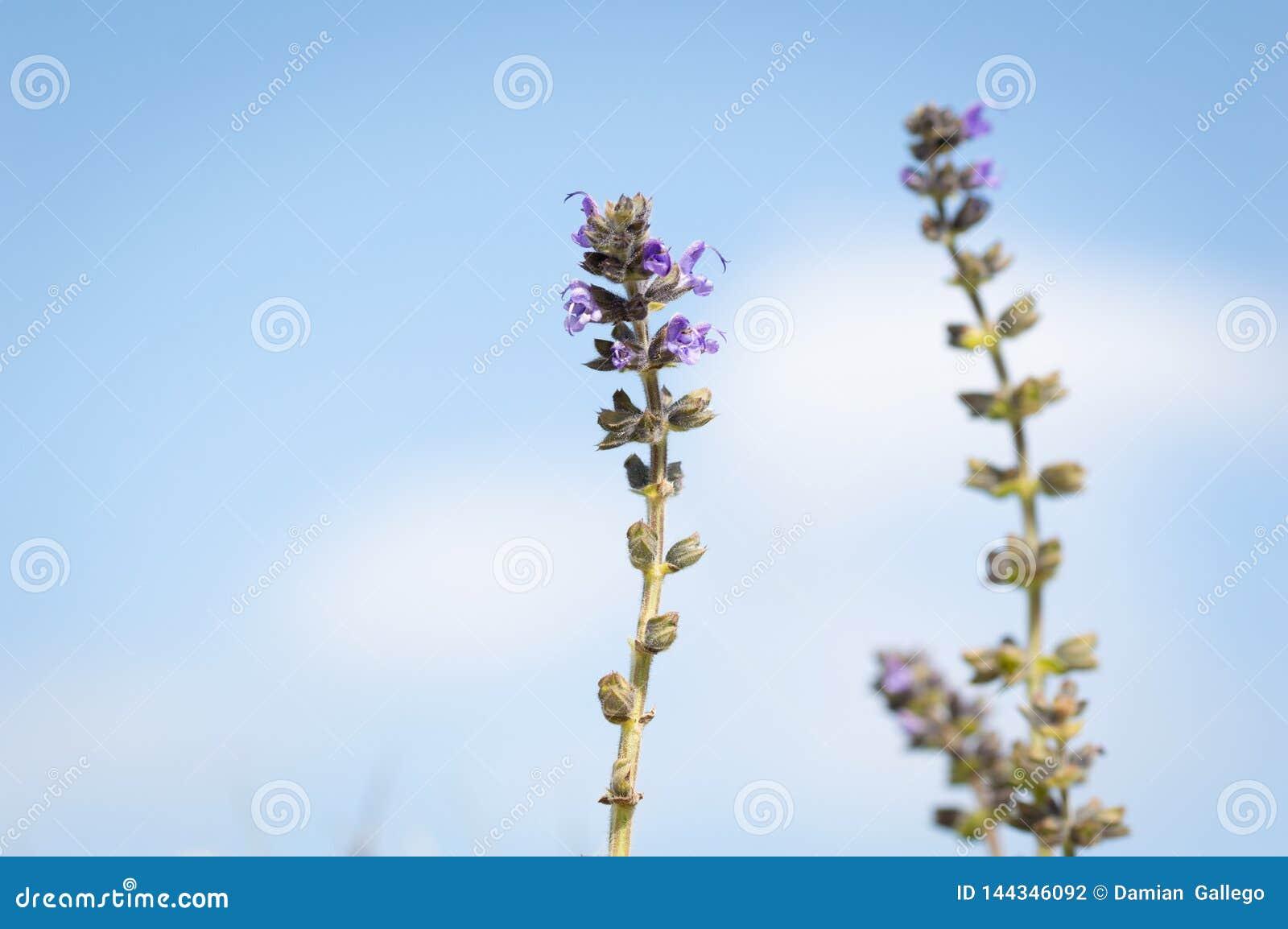 Flor azul hermosa, con el cielo en los reptans del Ajuga del fondo