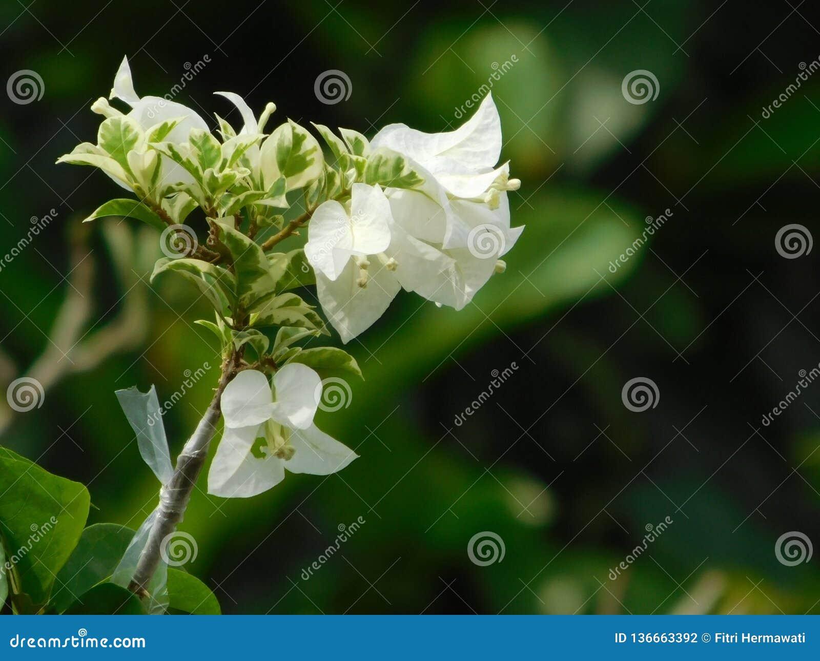 Flor blanca de la buganvilla