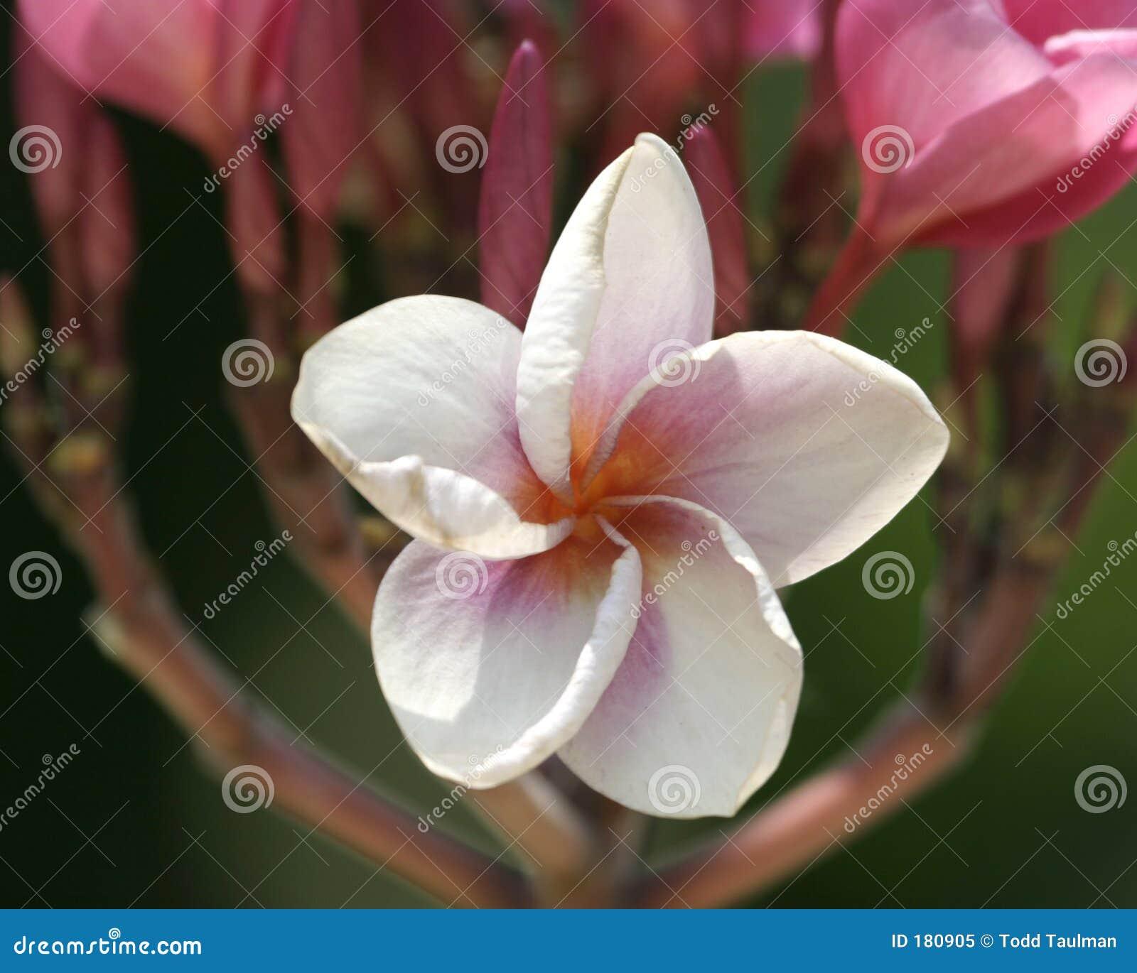 Flor blanca de la estrella