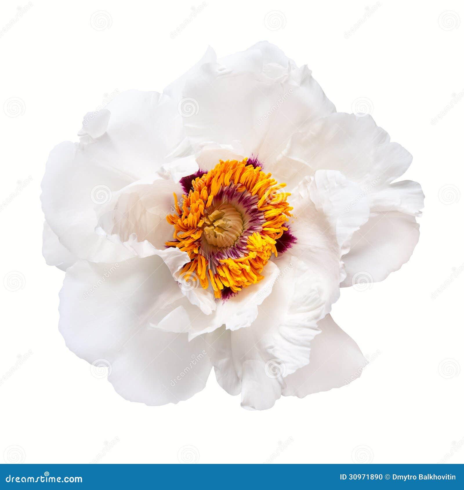 Flor blanca de la peonía