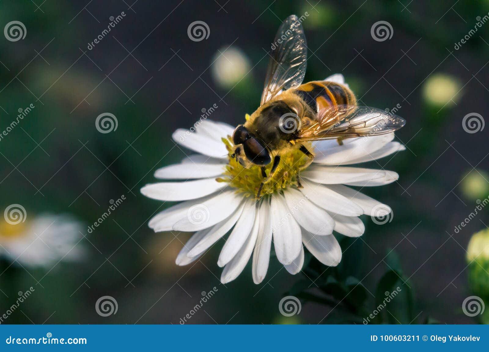 Flor blanca del flor con la abeja en el jardín en verano de la primavera  con brillo del sol 71b04dd1342