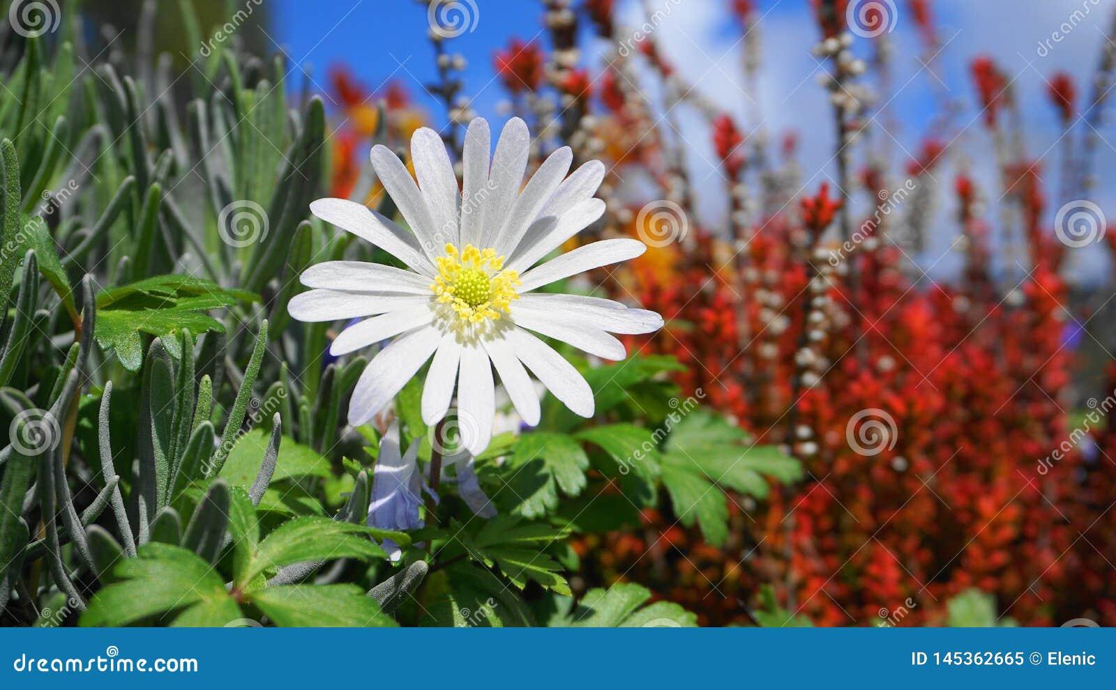 Flor blanca del esplendor del blanda de la anémona en las plantas coloridas y cierre del fondo del cielo azul para arriba