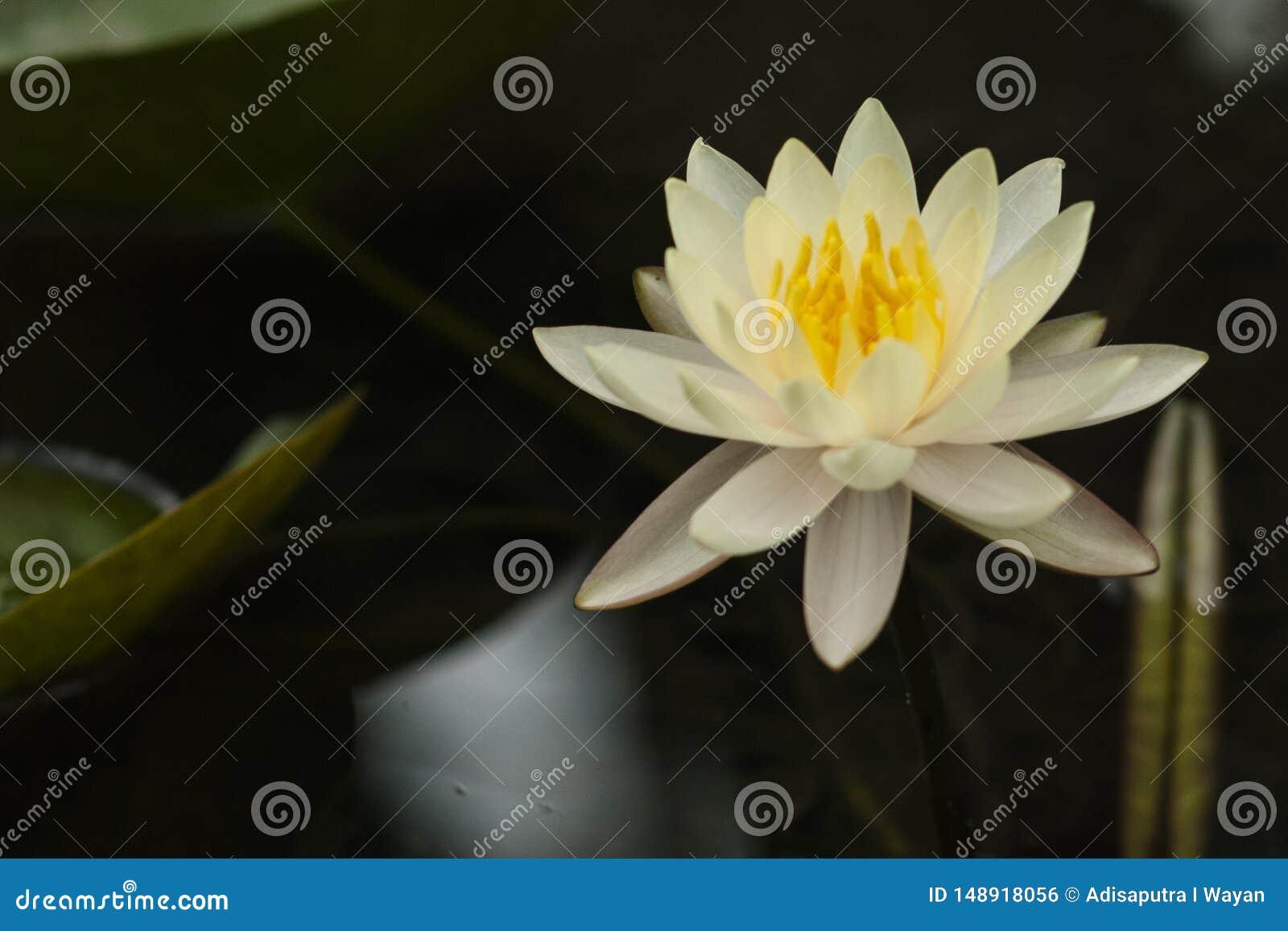 Flor blanca del lirio de agua amarilla de Bali con el fondo oscuro