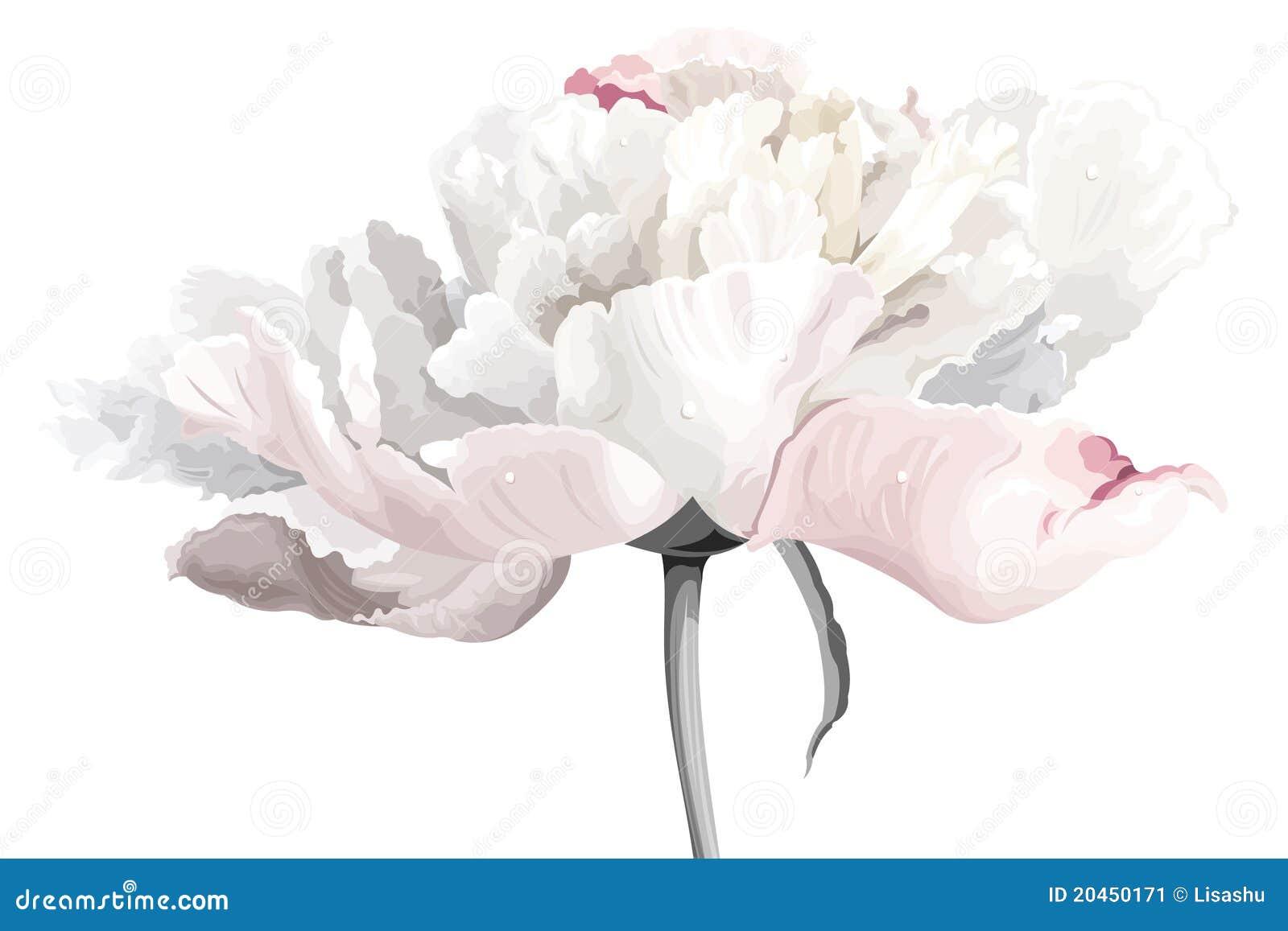 Flor blanca del peony