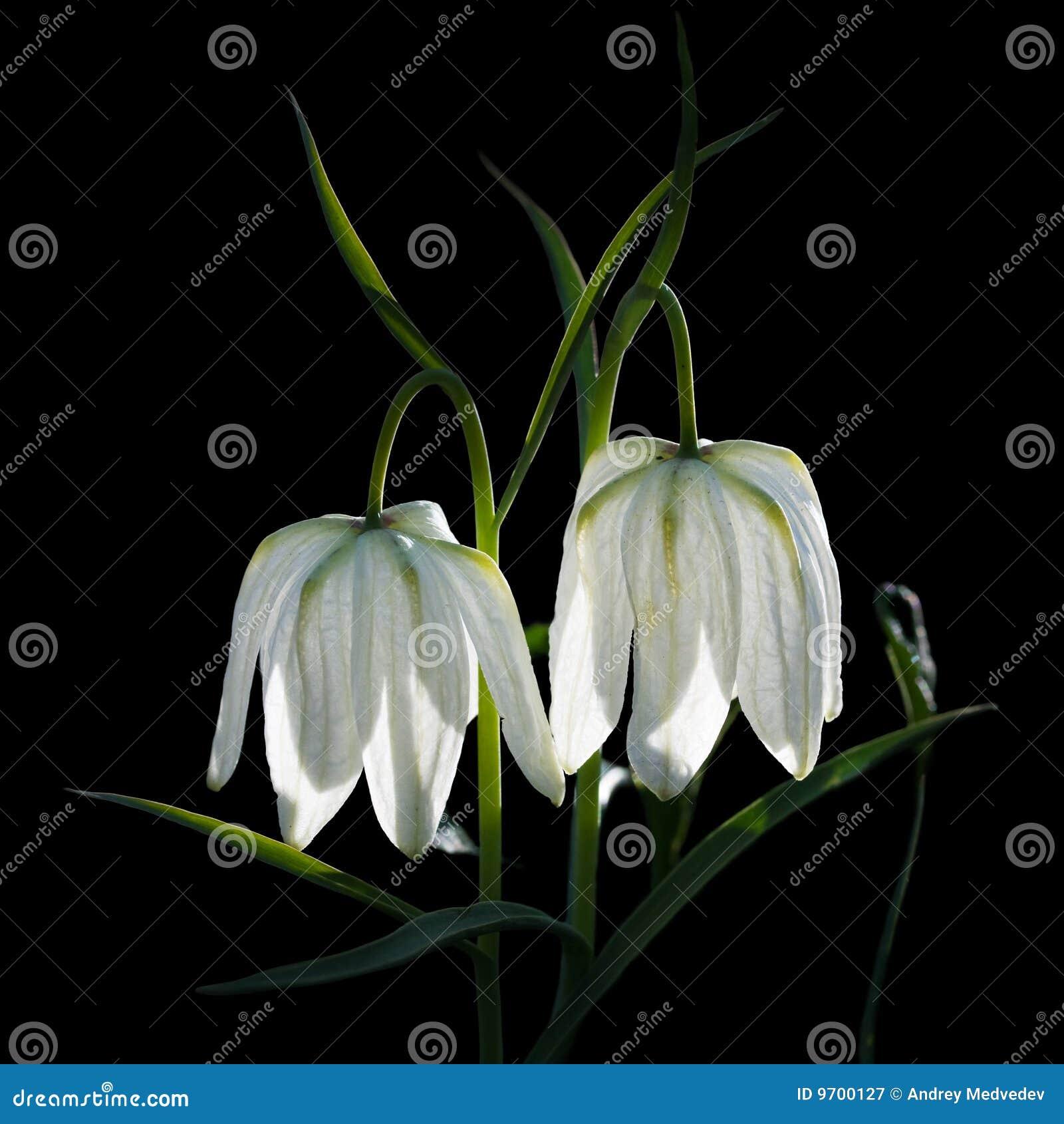 Flor blanca del primer del bellflower para el cartel grande.