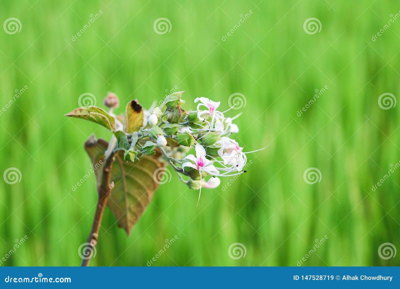 Flor blanca en jardín al aire libre del verano verde del fondo