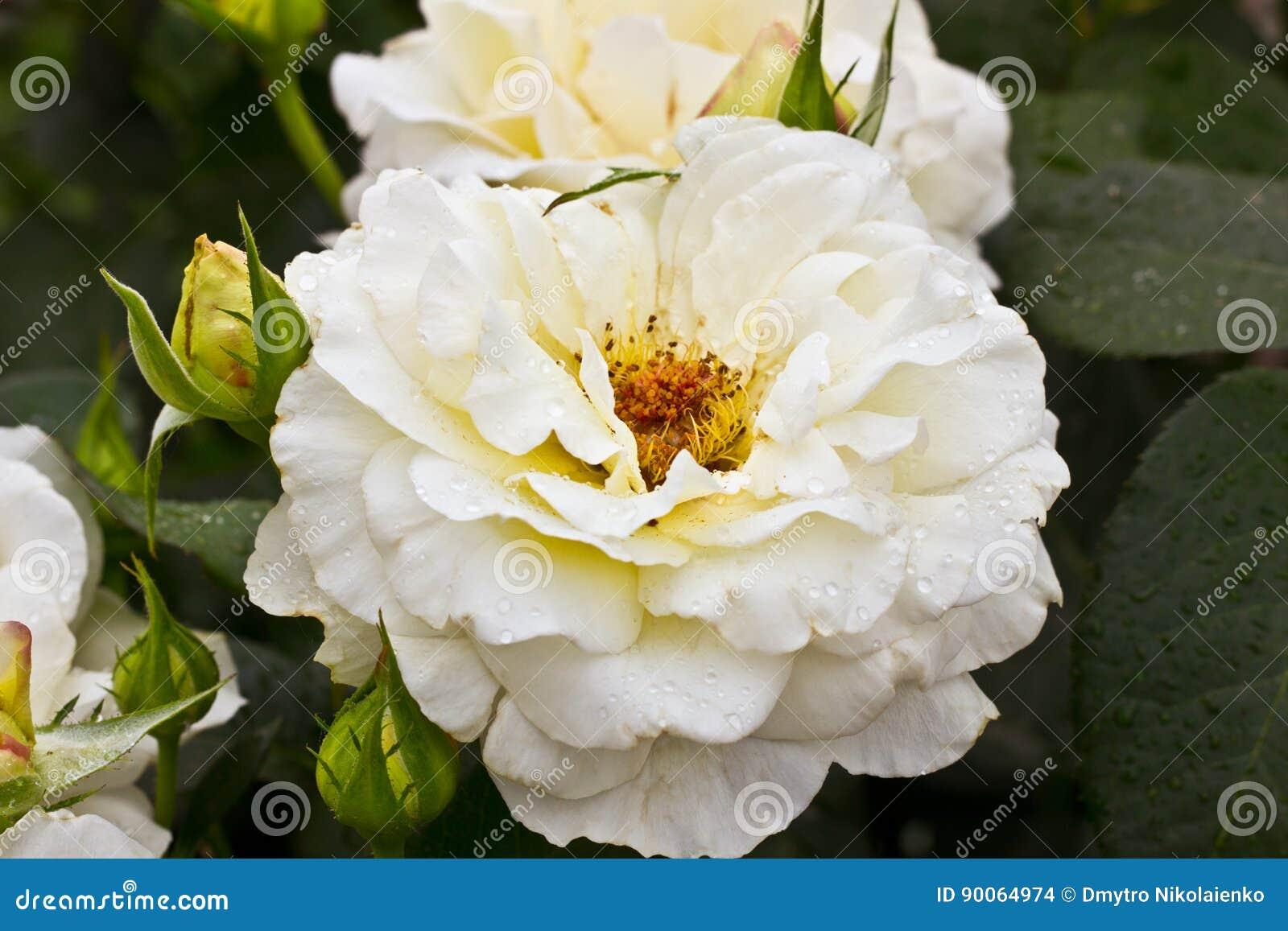 Flor blanca hermosa Arbusto color de rosa blanco El verano horizontal florece el fondo del arte Espacio en el fondo para la copia