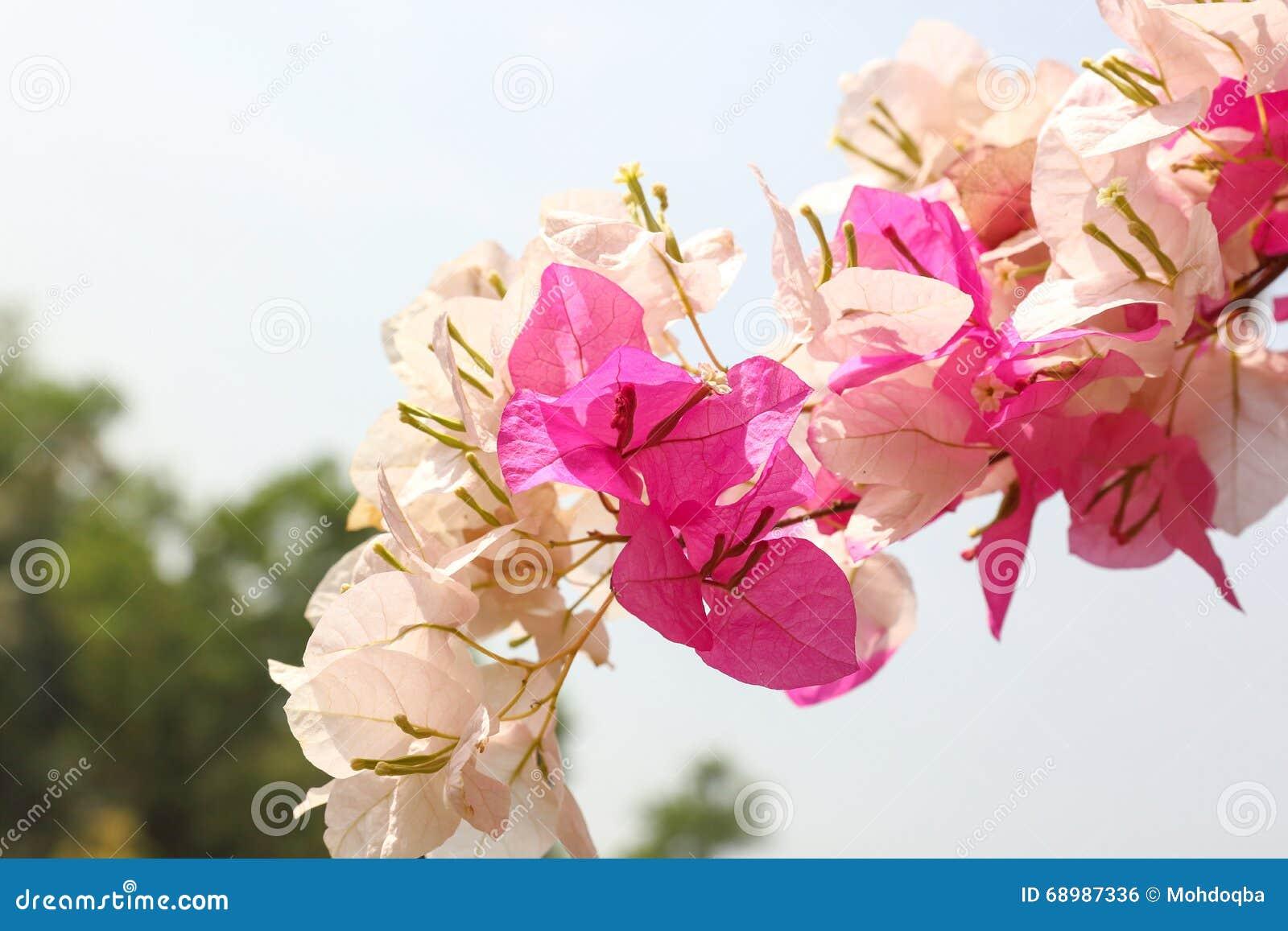 Flor blanca púrpura de la buganvilla