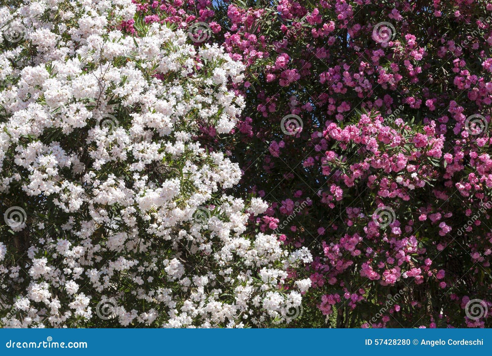 Flor blanca y rosada de la peonía