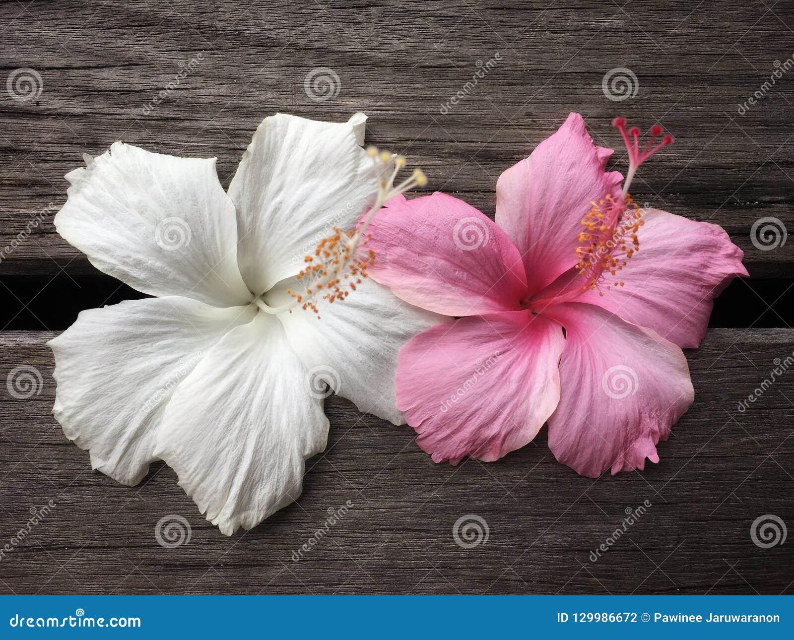 Flor blanca y rosada del hibisco