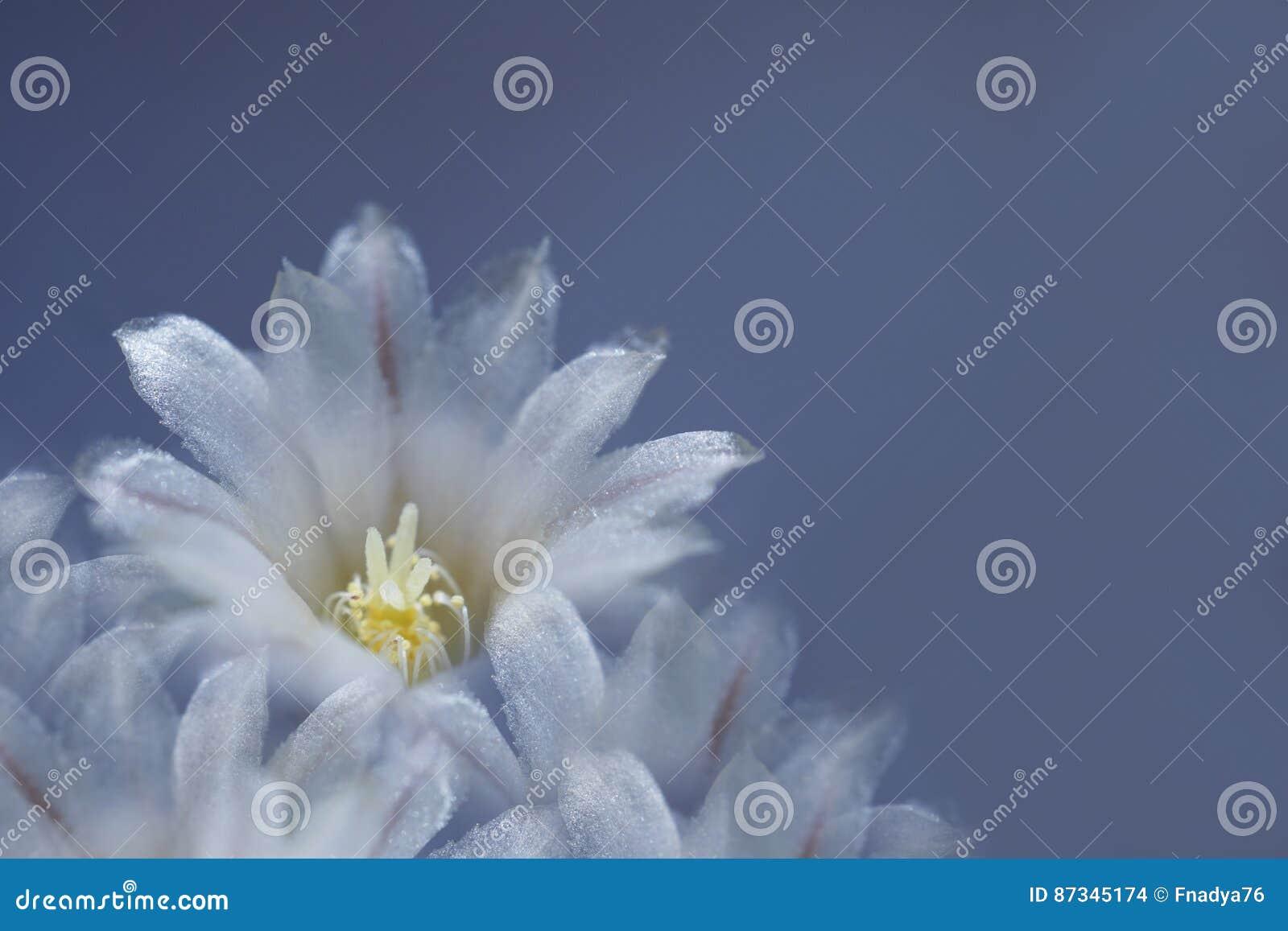 Flor blanco-azul en fondo azul El brillo de los pétalos en el sol Primer 6939efb6637