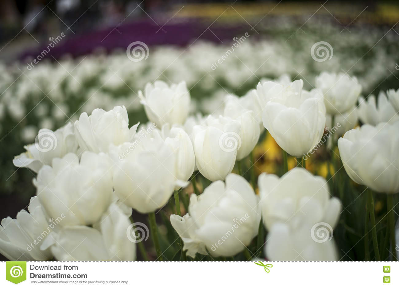 Flor blanco de la flor del tulipán