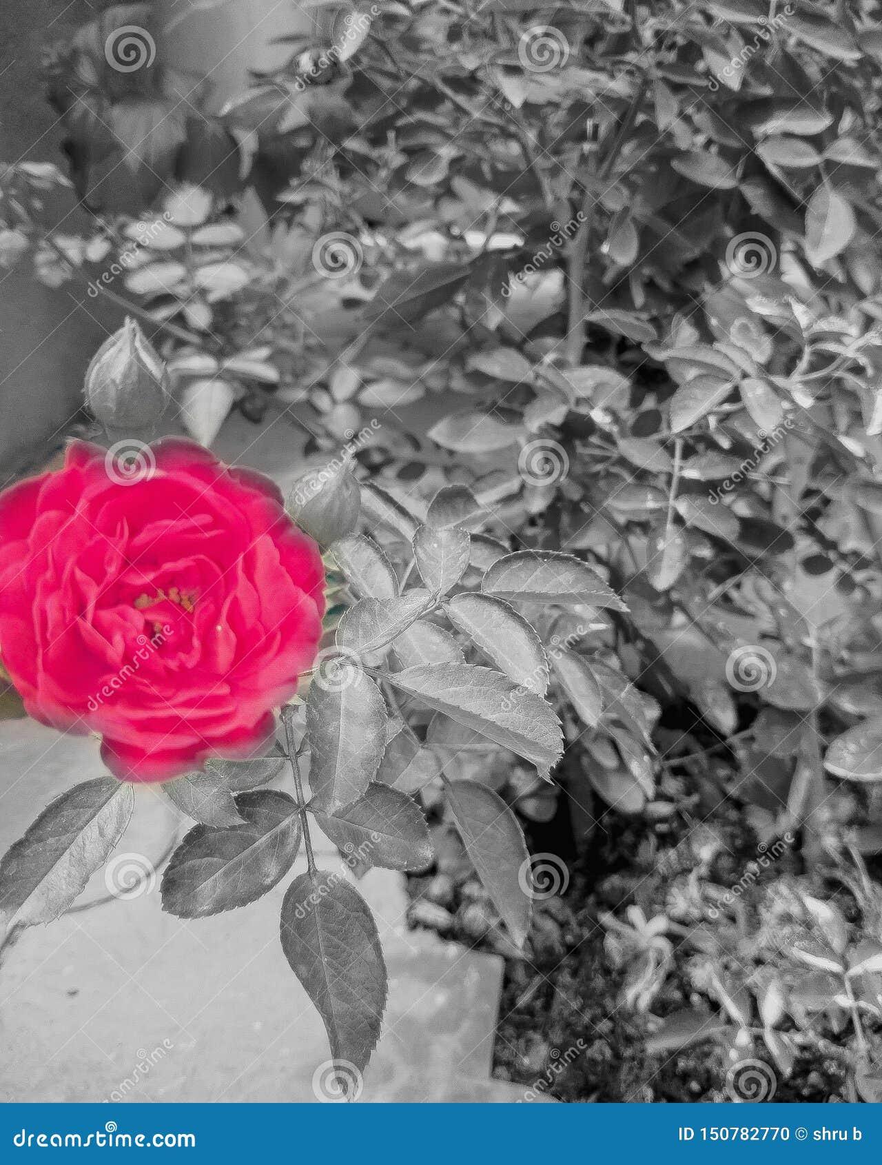 Flor, blanco y negro, imágenes del chapoteo del color, imagen hermosa