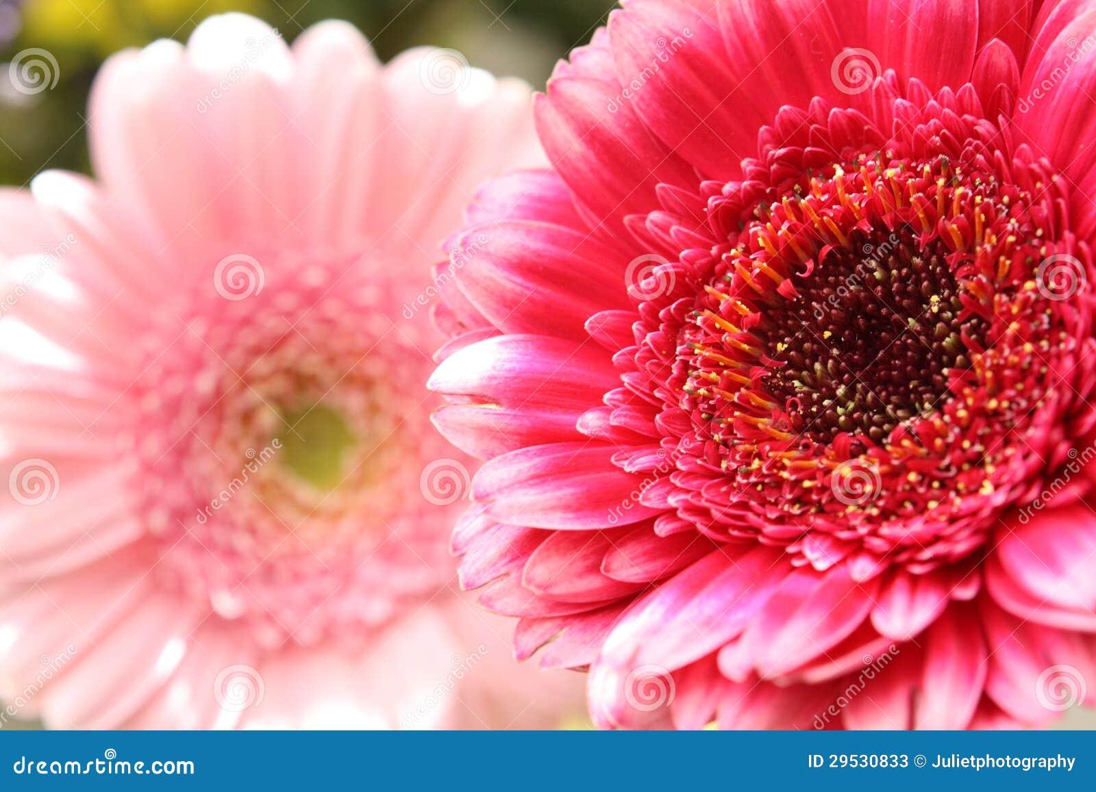 Flor bonita, artística do gerbera