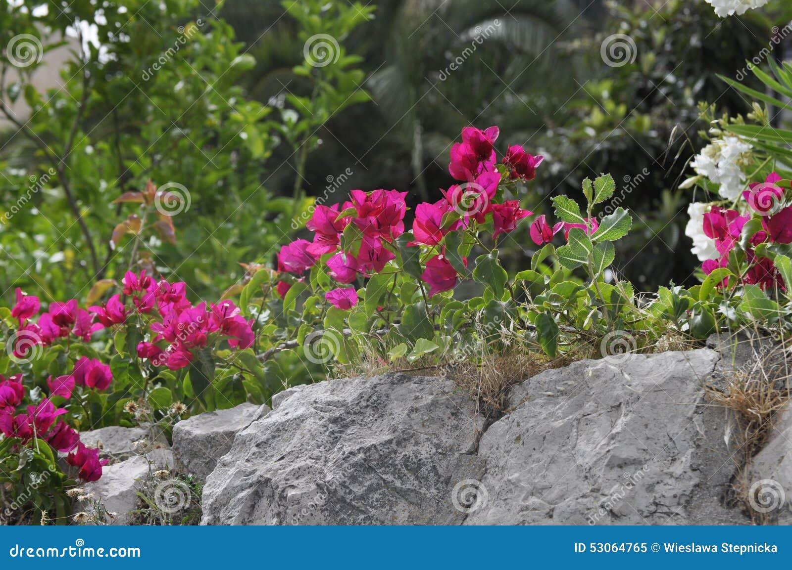 jardim plantas nativas:Flor Bonita Da Buganvília No Jardim, Pedras Foto de Stock – Imagem