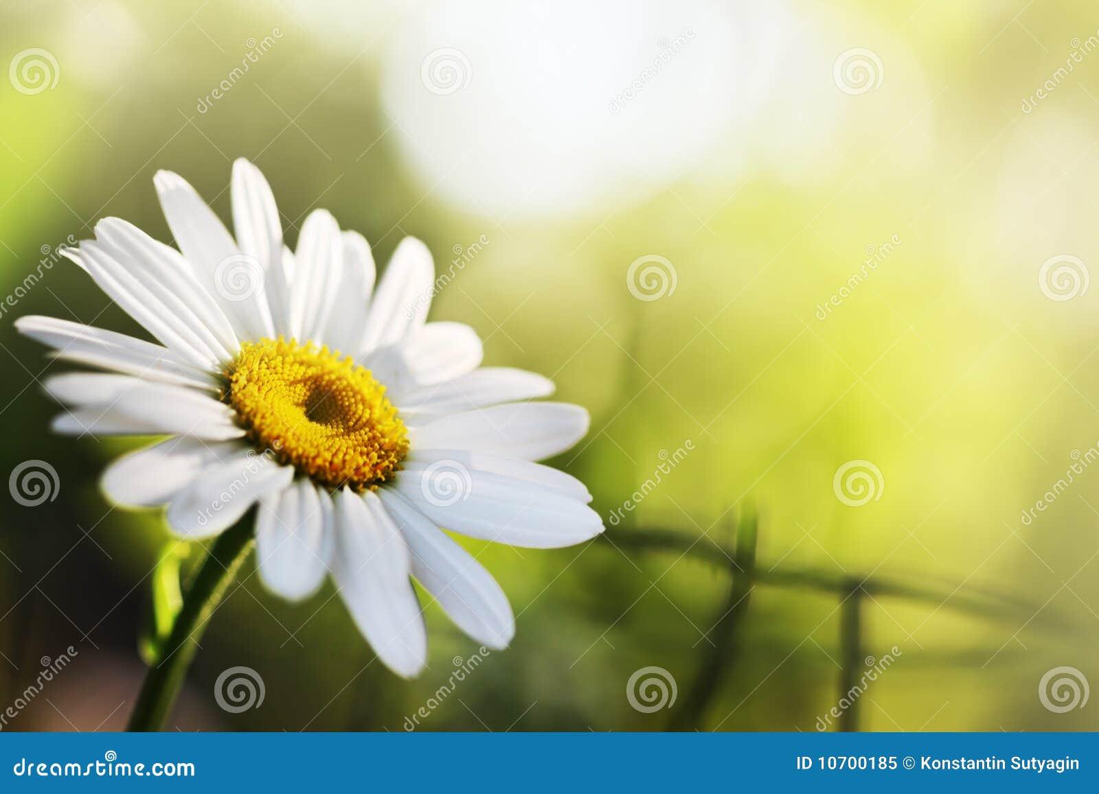 Flor bonita da margarida