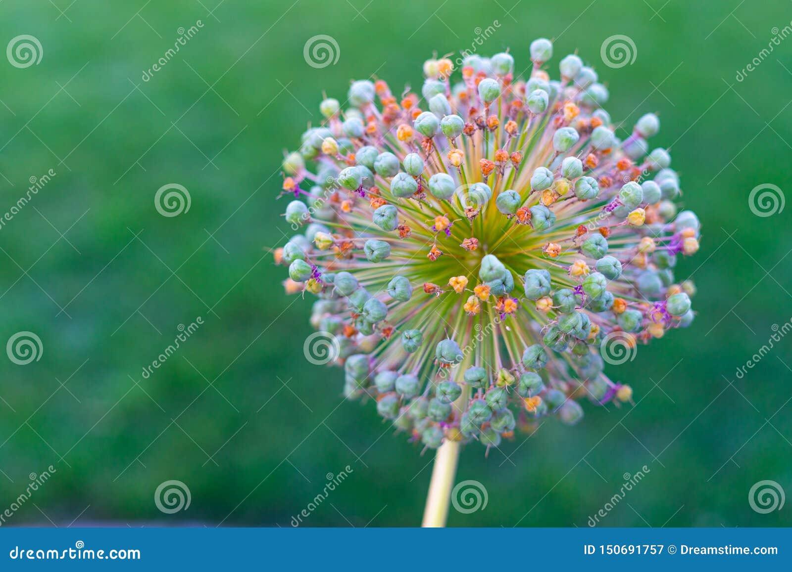 Flor bonita do Allium da cor no fundo verde