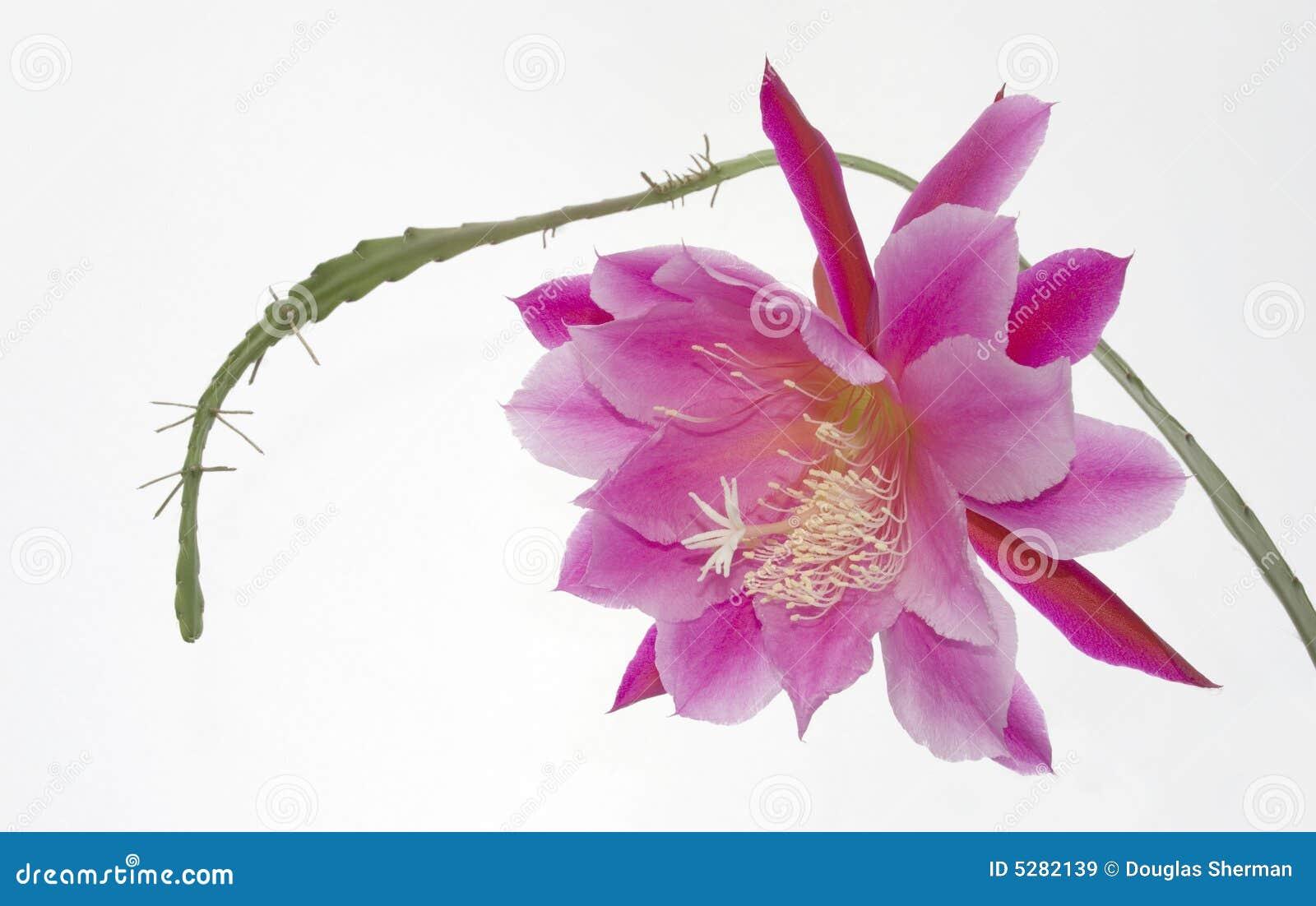 Flor bonita do succulent