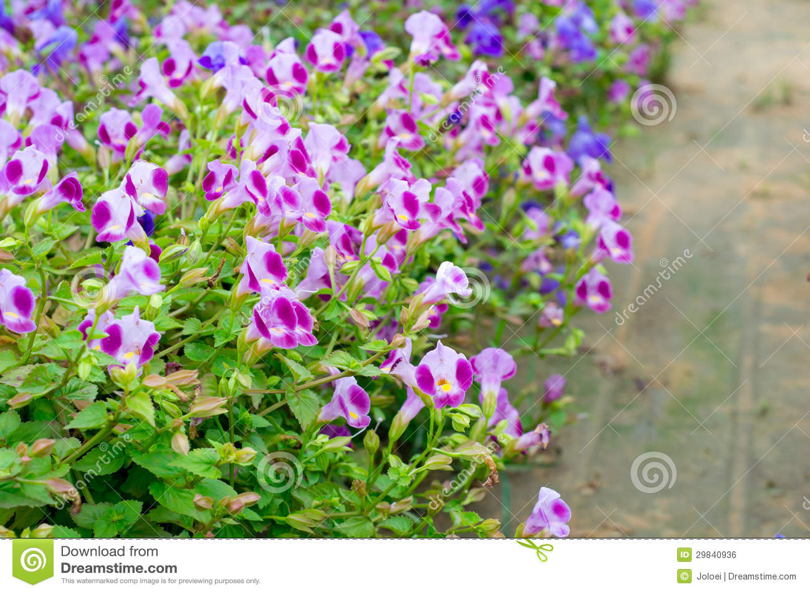 Flor de Torenia