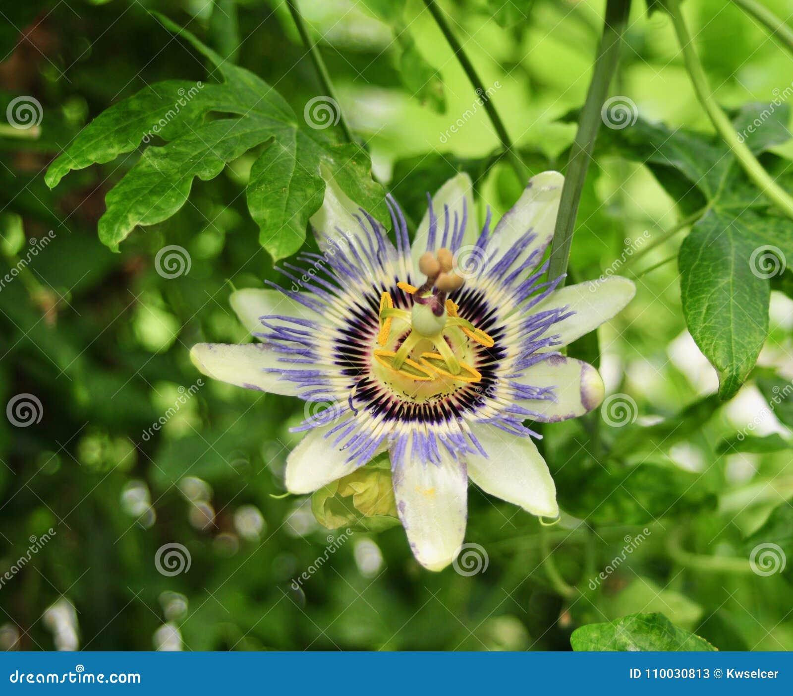Flor bonita e incomum da paixão