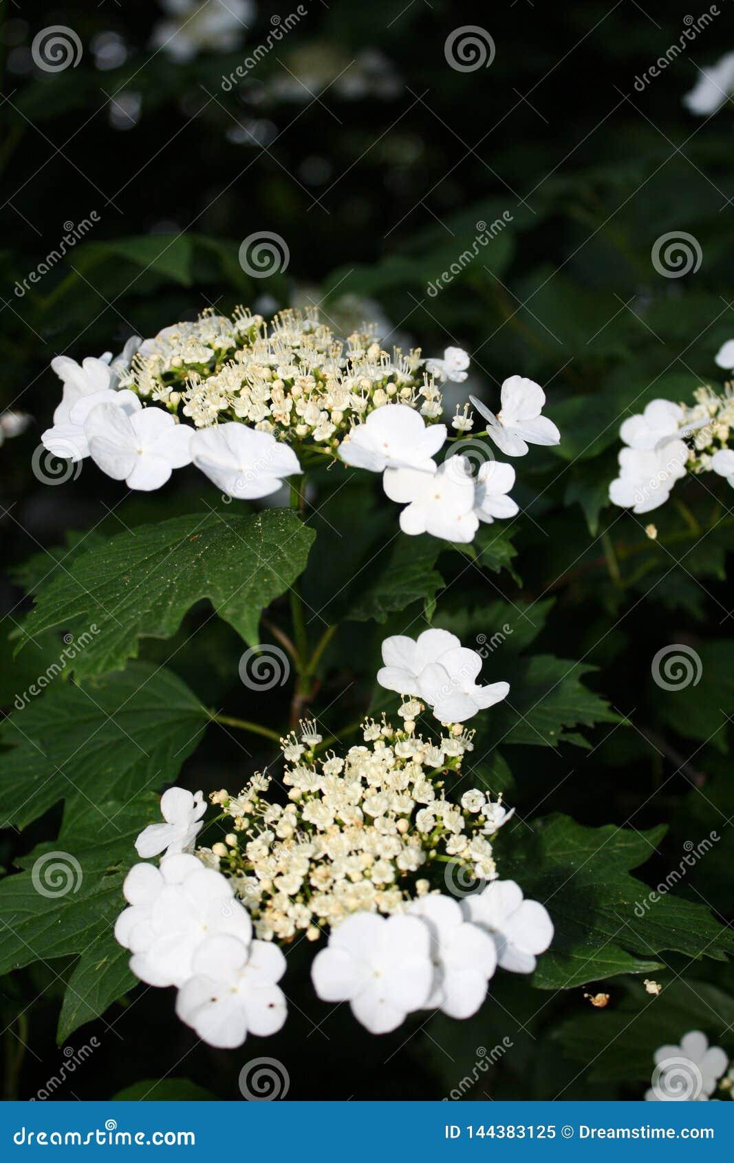 Flor bonita em um dia ensolarado, fundo verde do viburnum