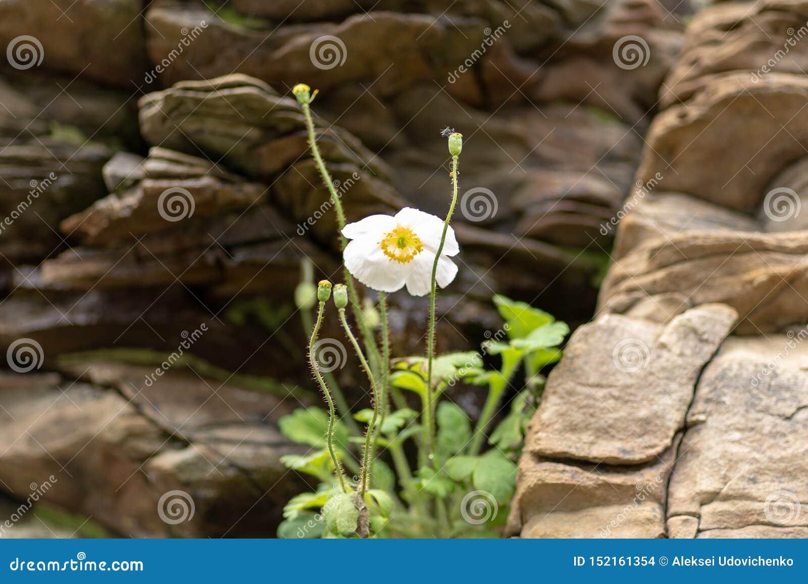 Flor branca contra um contexto de pedras rochosas
