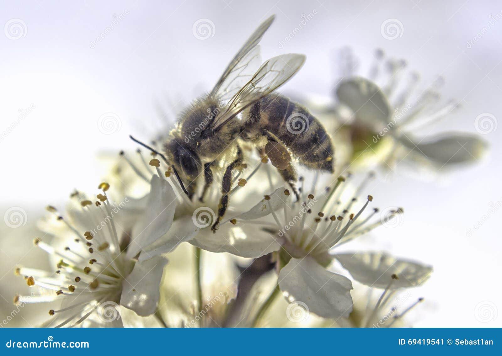 Flor branca da abelha