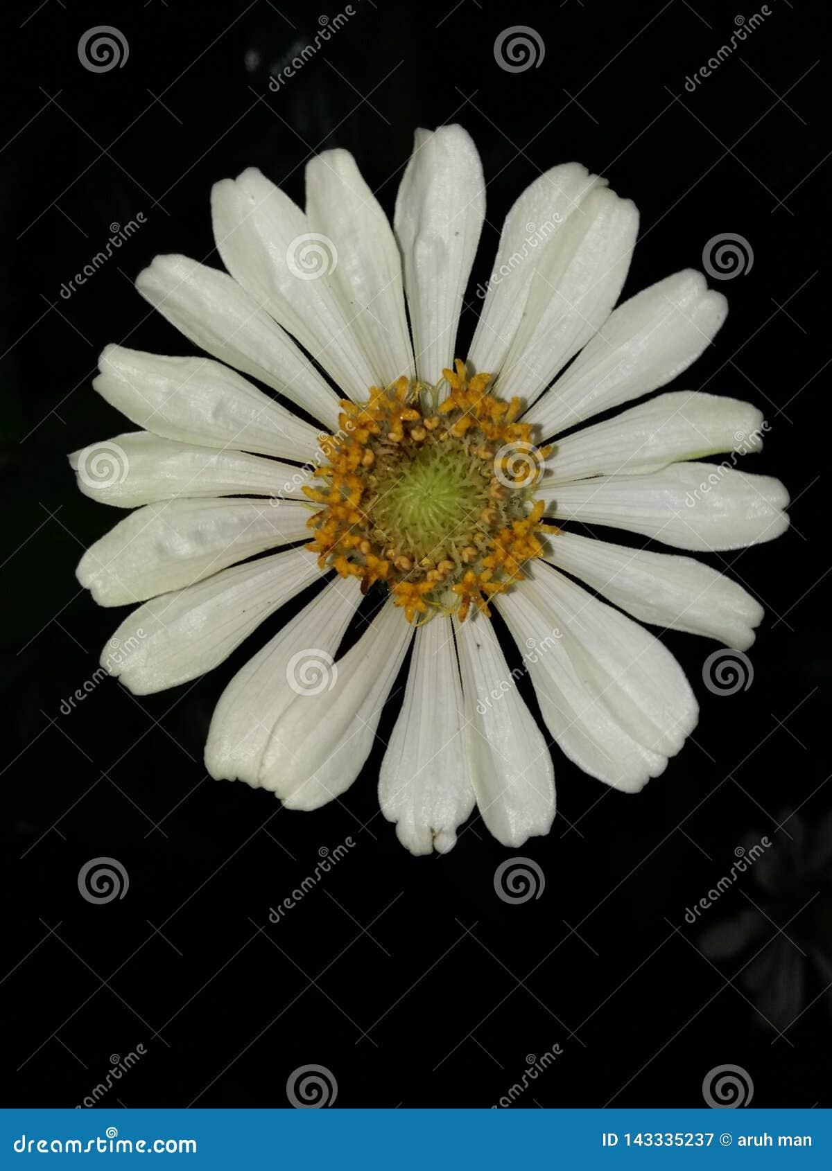 Flor branca da cor das flores da flor